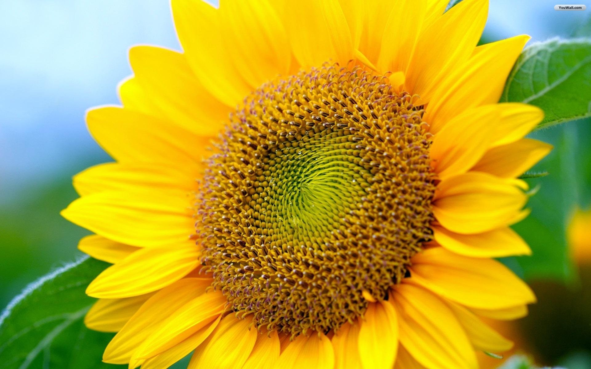 sunflower desktop wallpapers (72+ background pictures)