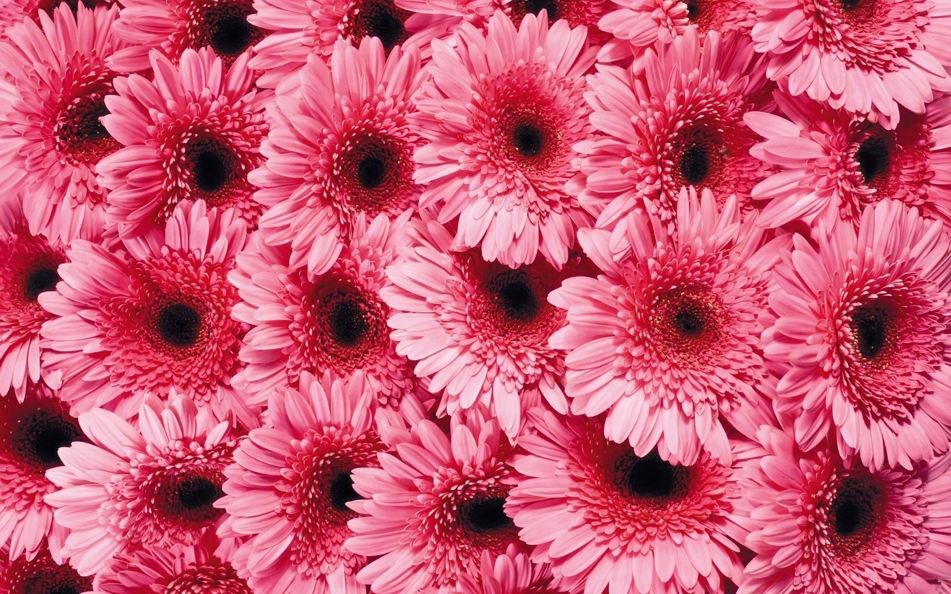 Pink Daisy Wallpapers 47 Background Pictures