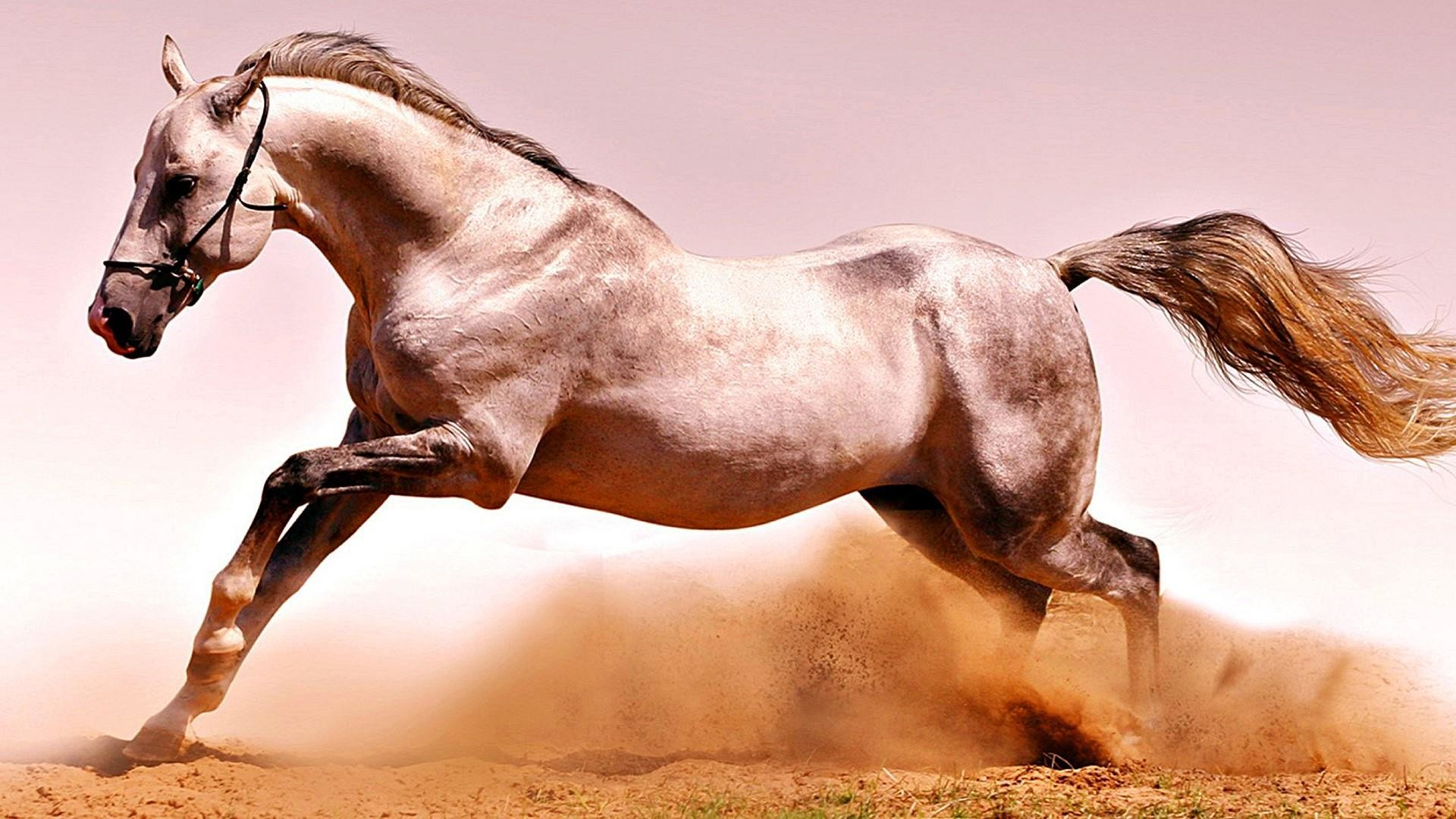 . Arabian Horse Wallpapers  56  background pictures