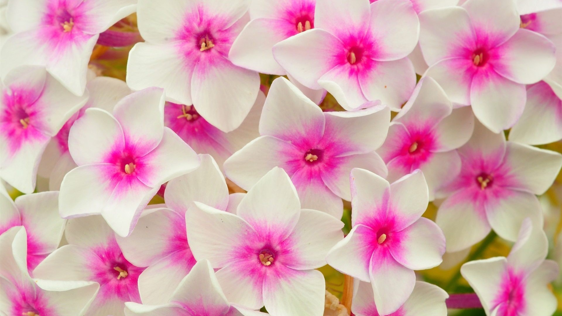 White Flower Wallpapers 71 Background Pictures