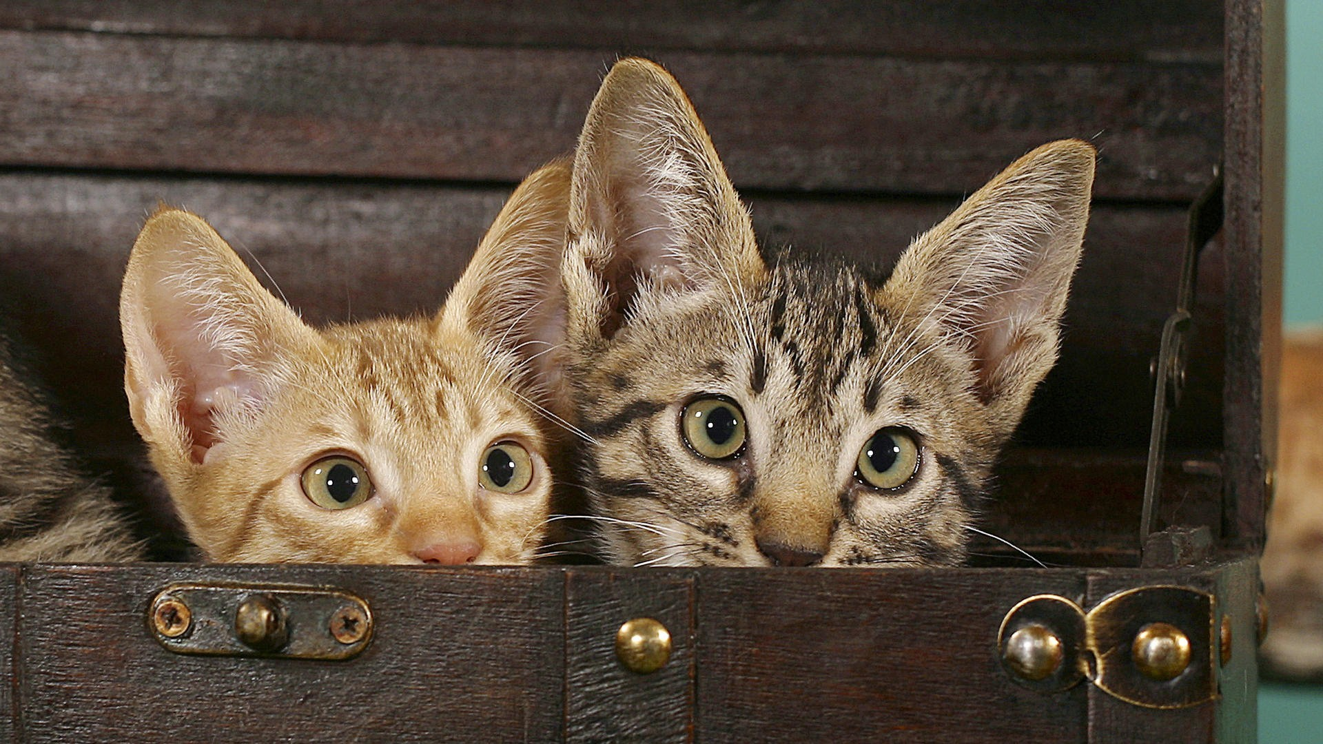 Bengal Cat Wallpapers 54 Background Pictures