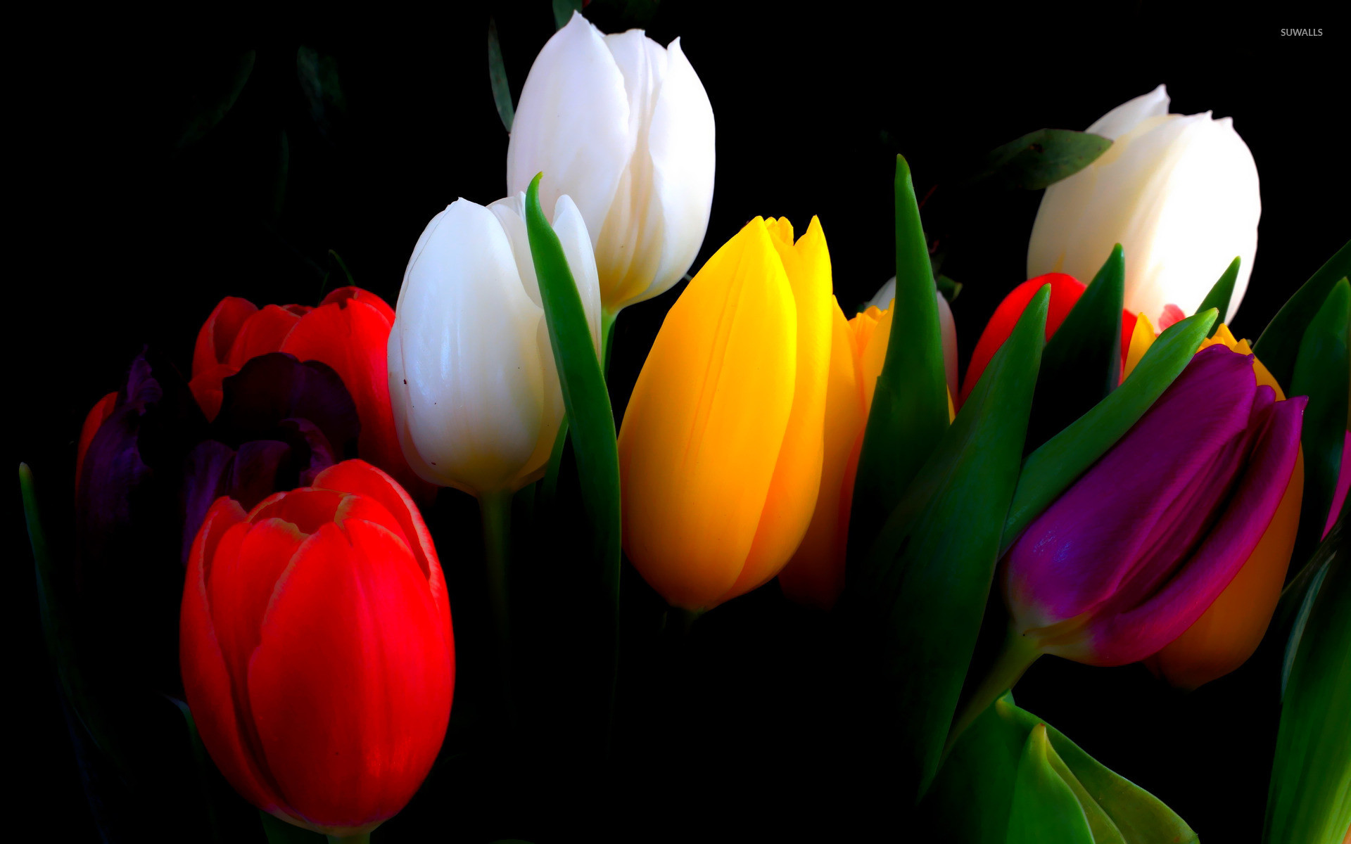 Tulips Wallpapers 67 Background Pictures