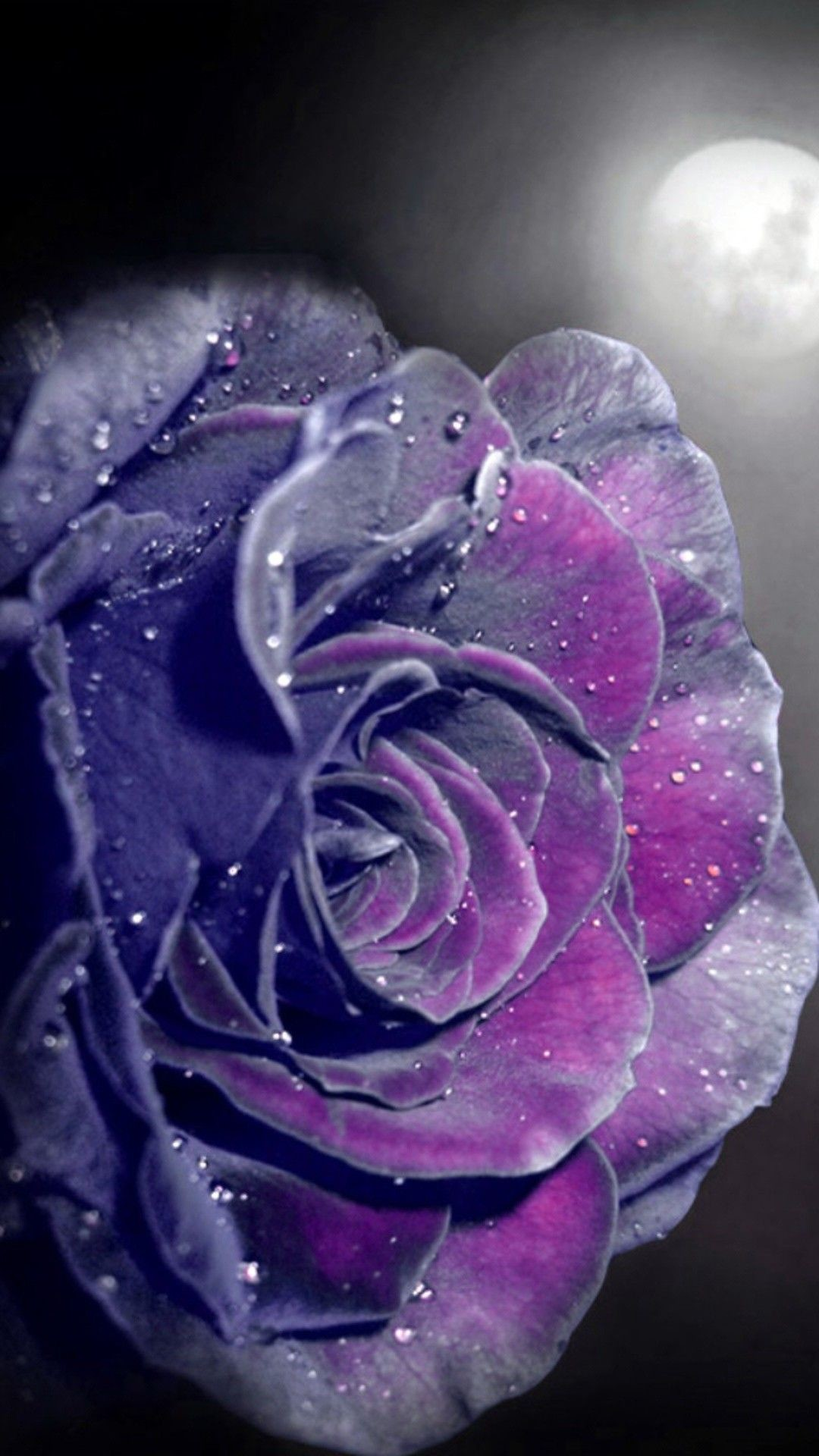 Wet Purple Rose Wallpaper 1920x1200