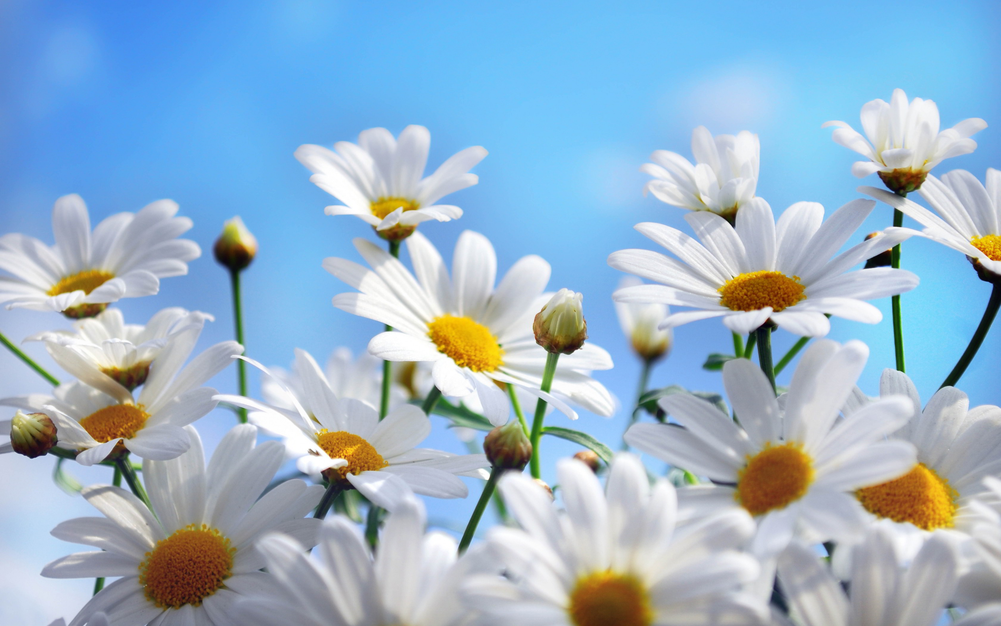 Daisy flower wallpapers 51 background pictures 3360x2100 daisy flower wallpapers mobile on hd wallpaper izmirmasajfo