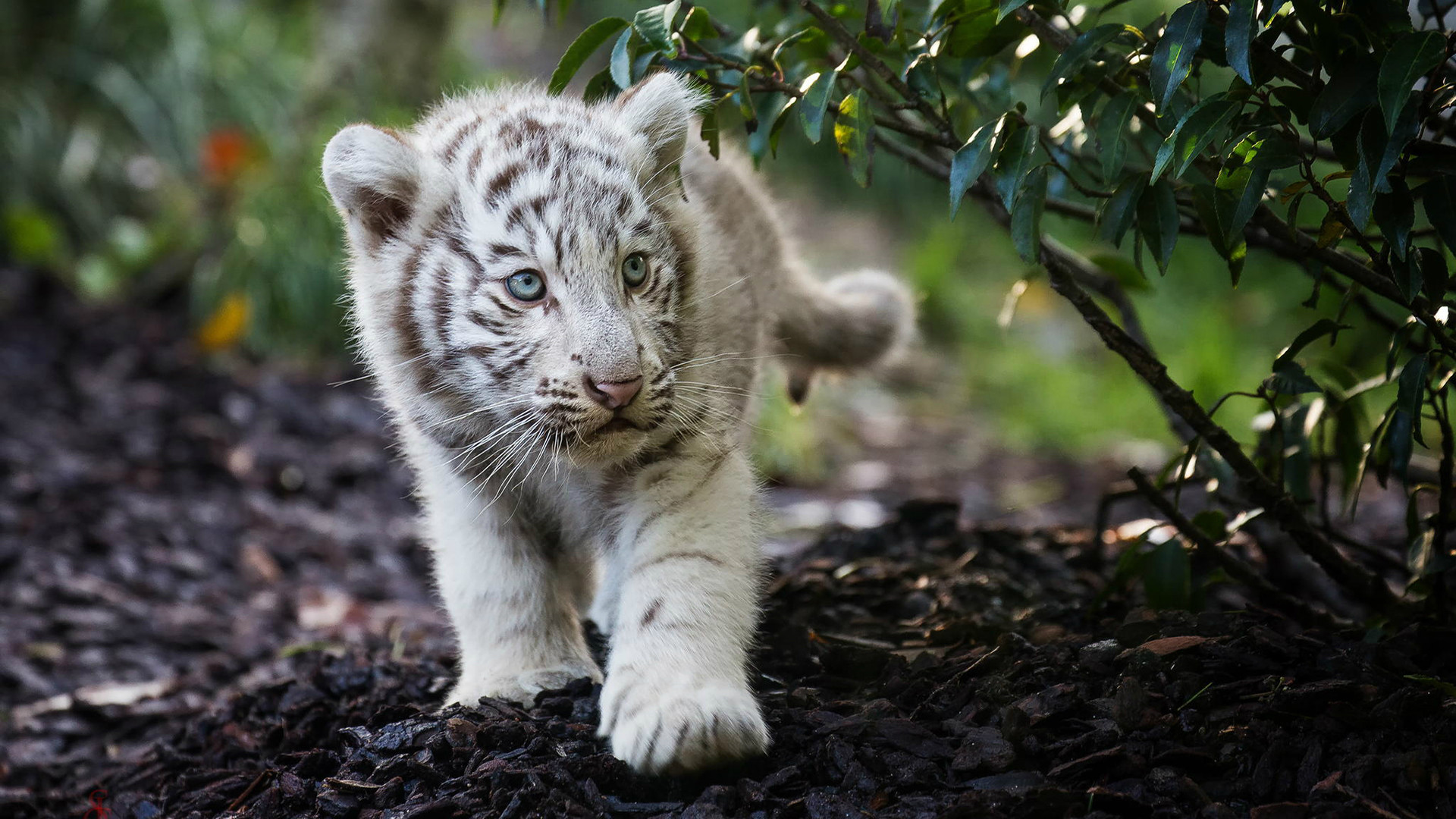 White Tiger Cubs Wallpapers .