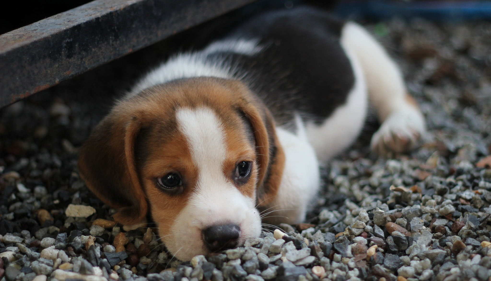 Beagle Pictures Wallpaper