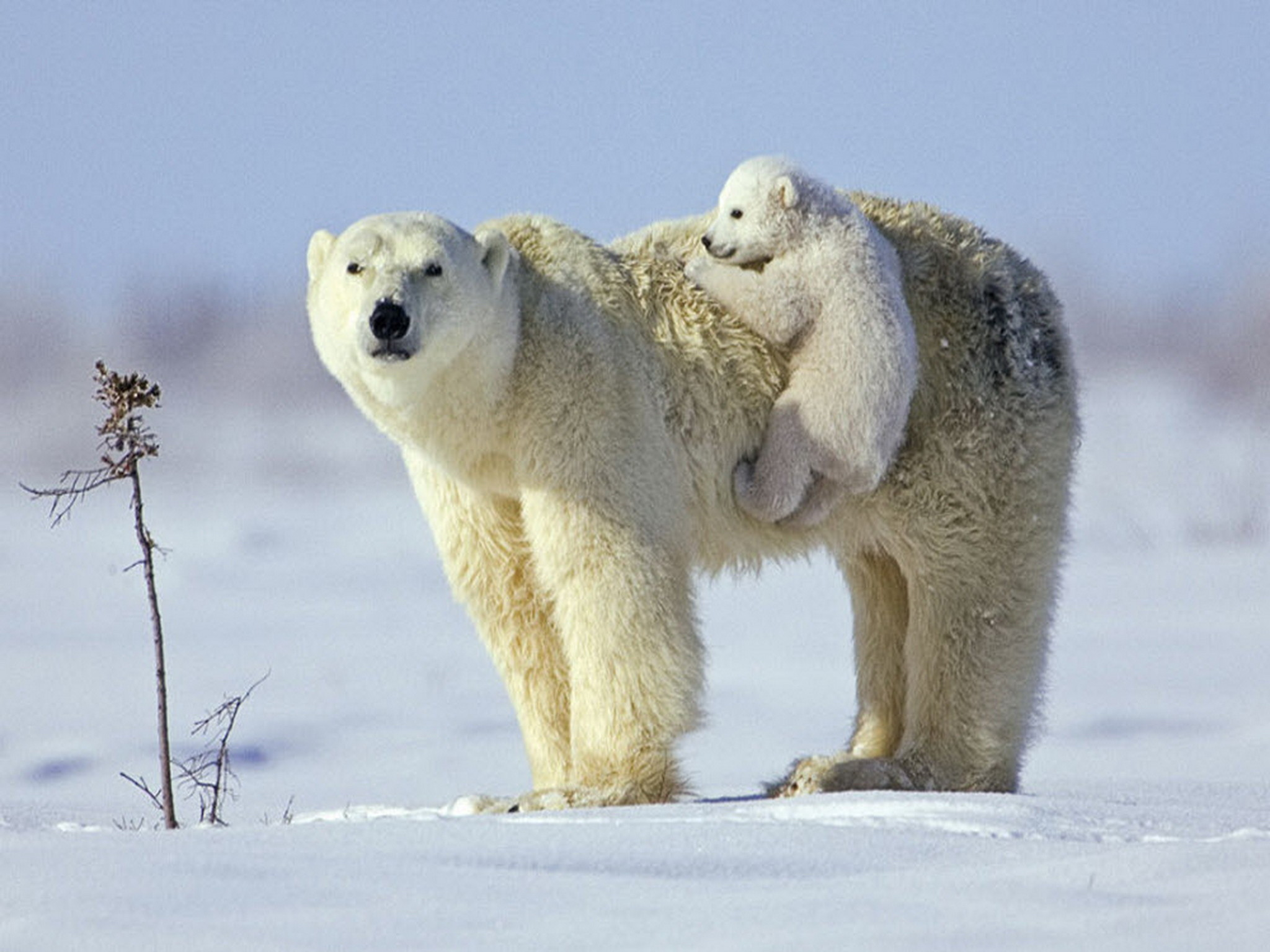 Baby Polar Bear Wallpapers 51 Background Pictures