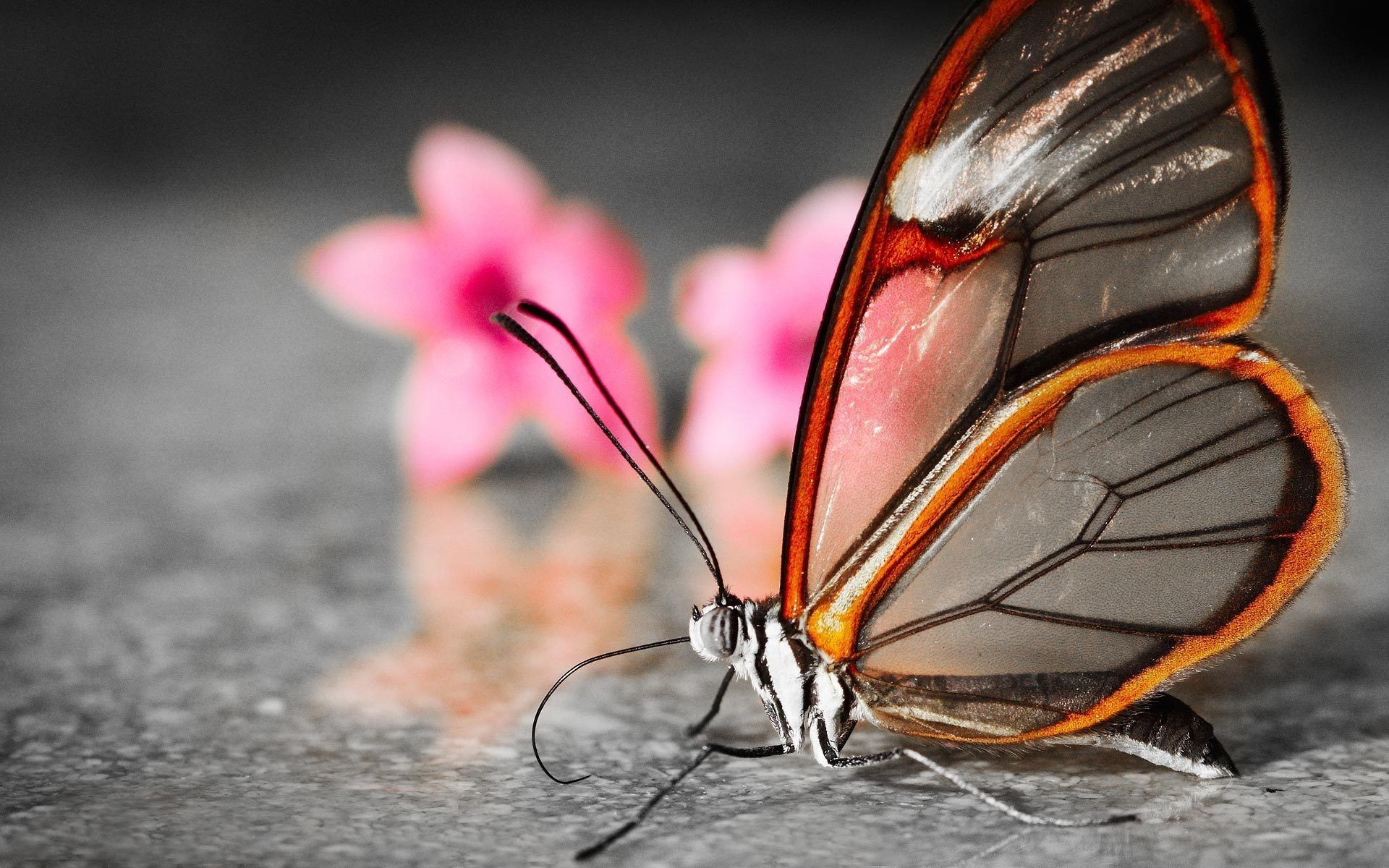 Butterfly Computer Wallpapers 59 Background Pictures