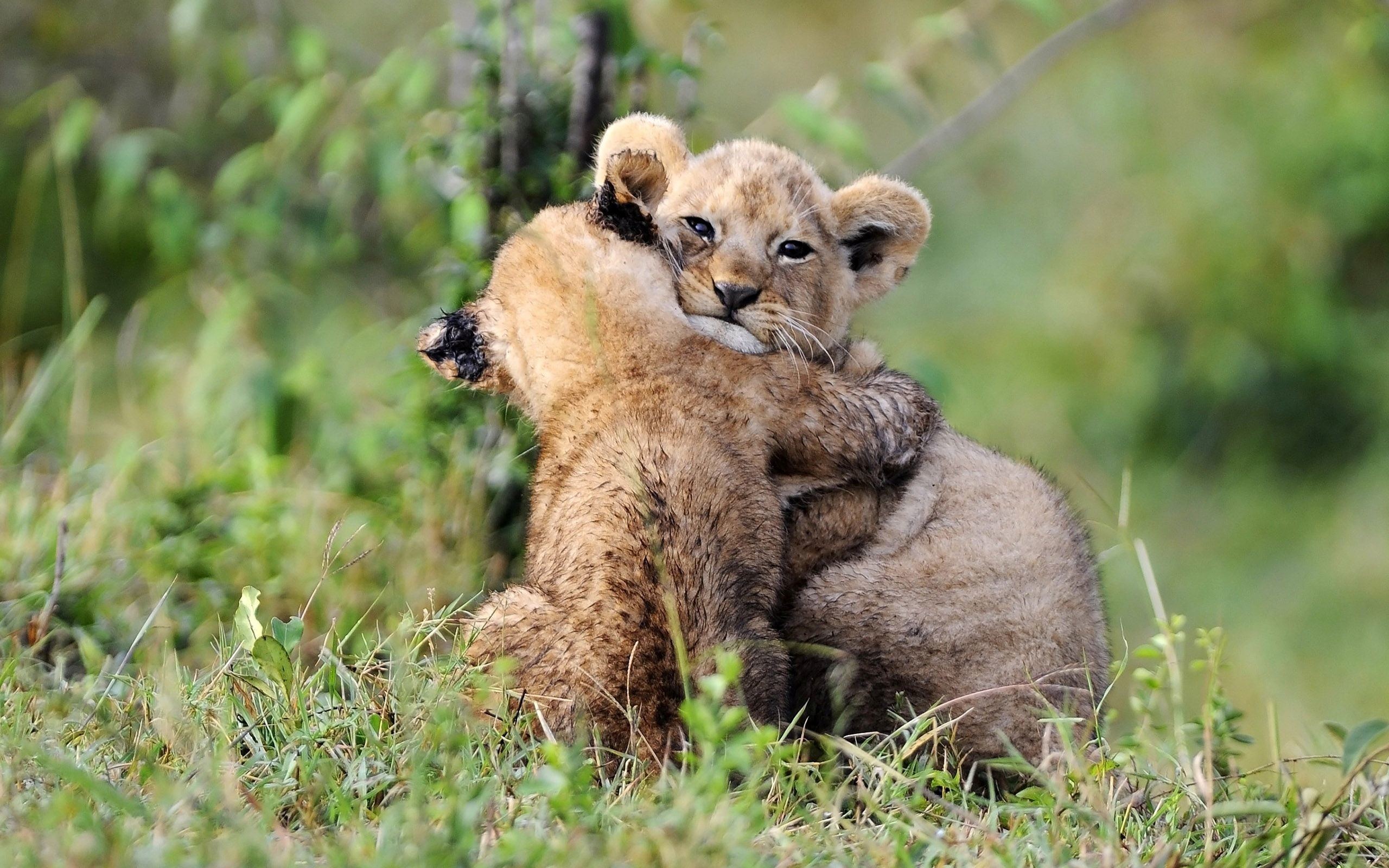 Lion Cubs Wallpapers 73 Background Pictures