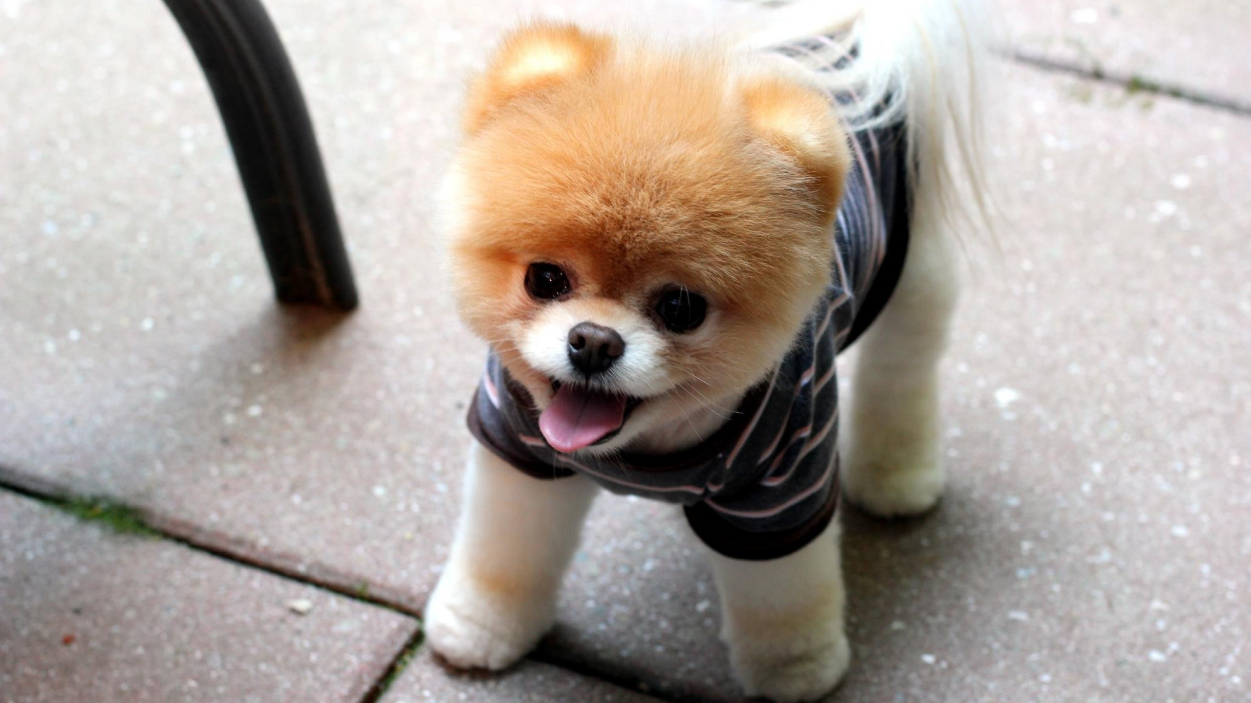 Pomeranian Wallpapers 60 Background Pictures