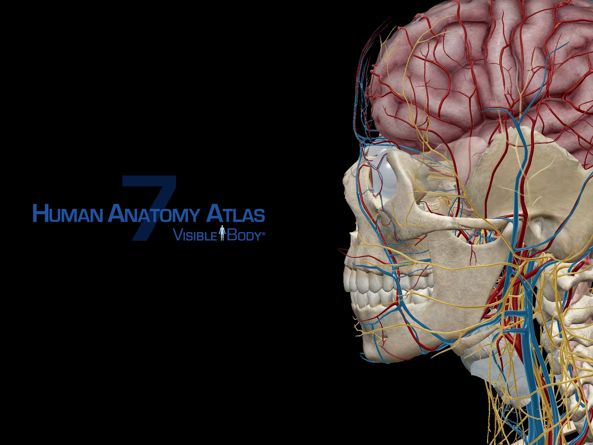 Brain Anatomy Wallpapers 62 Background Pictures