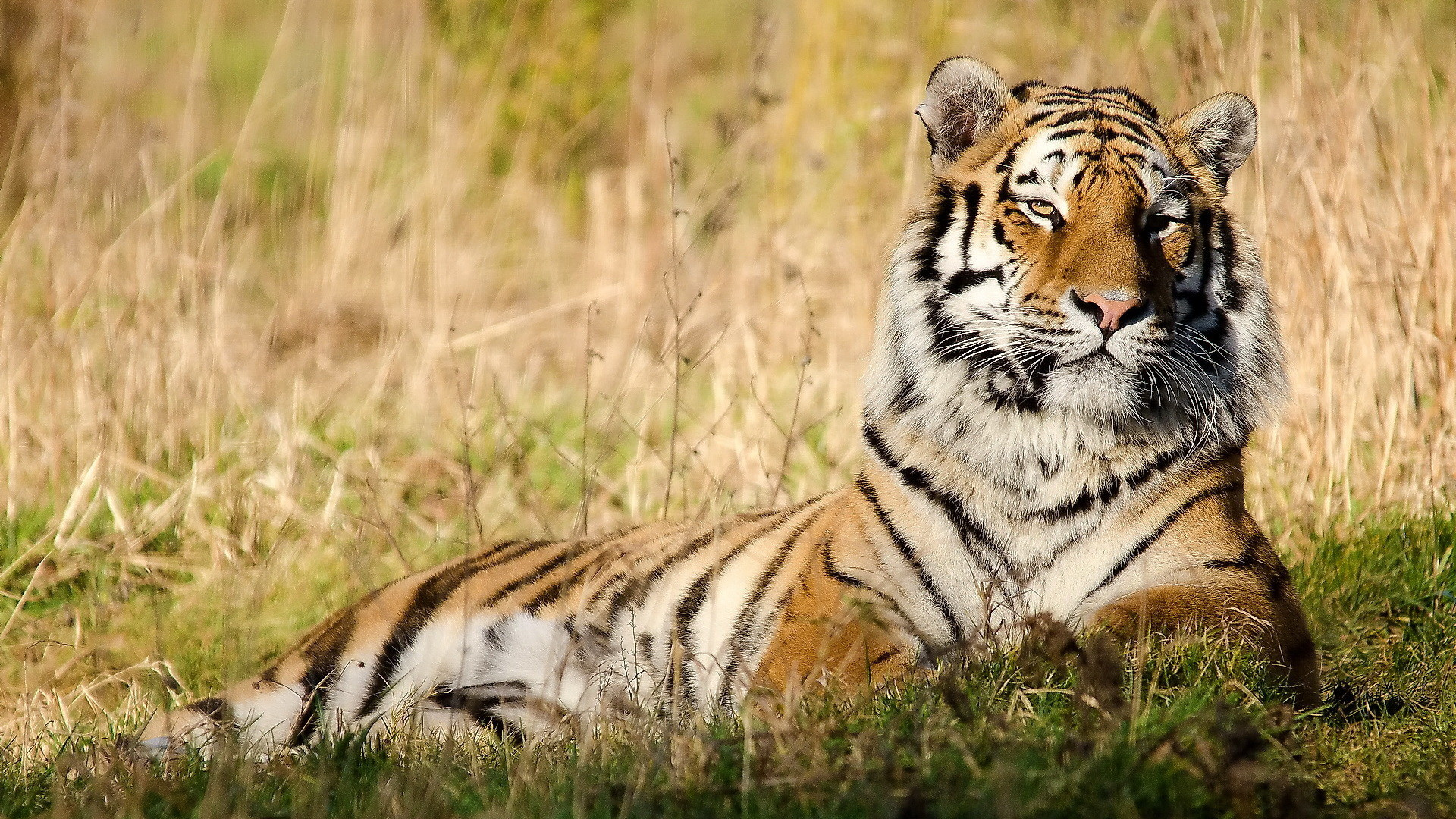 Amazing Tiger Wallpapers Best Of Wallpaper 16 Page 1