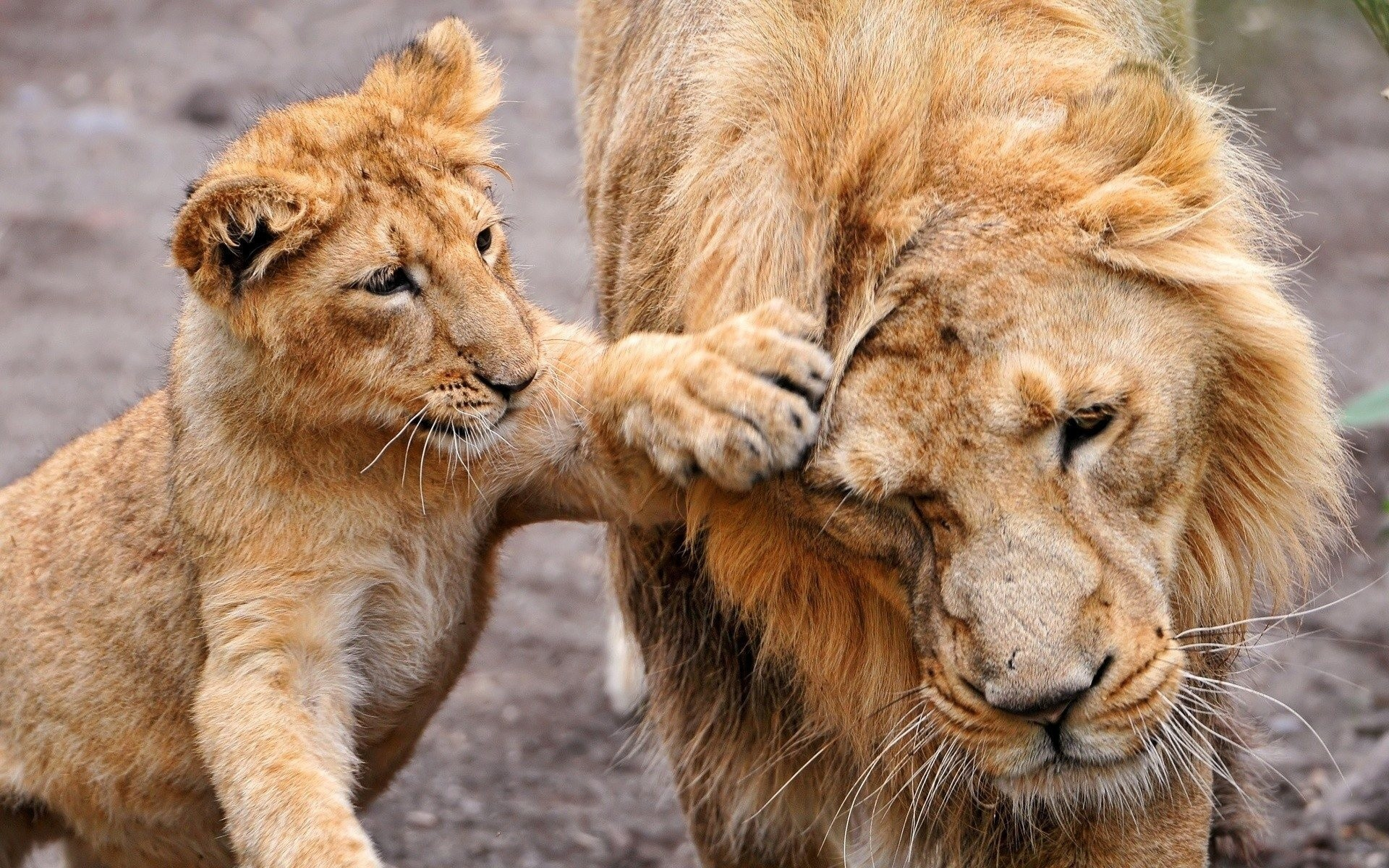 Lioness Wallpapers 62 Background Pictures