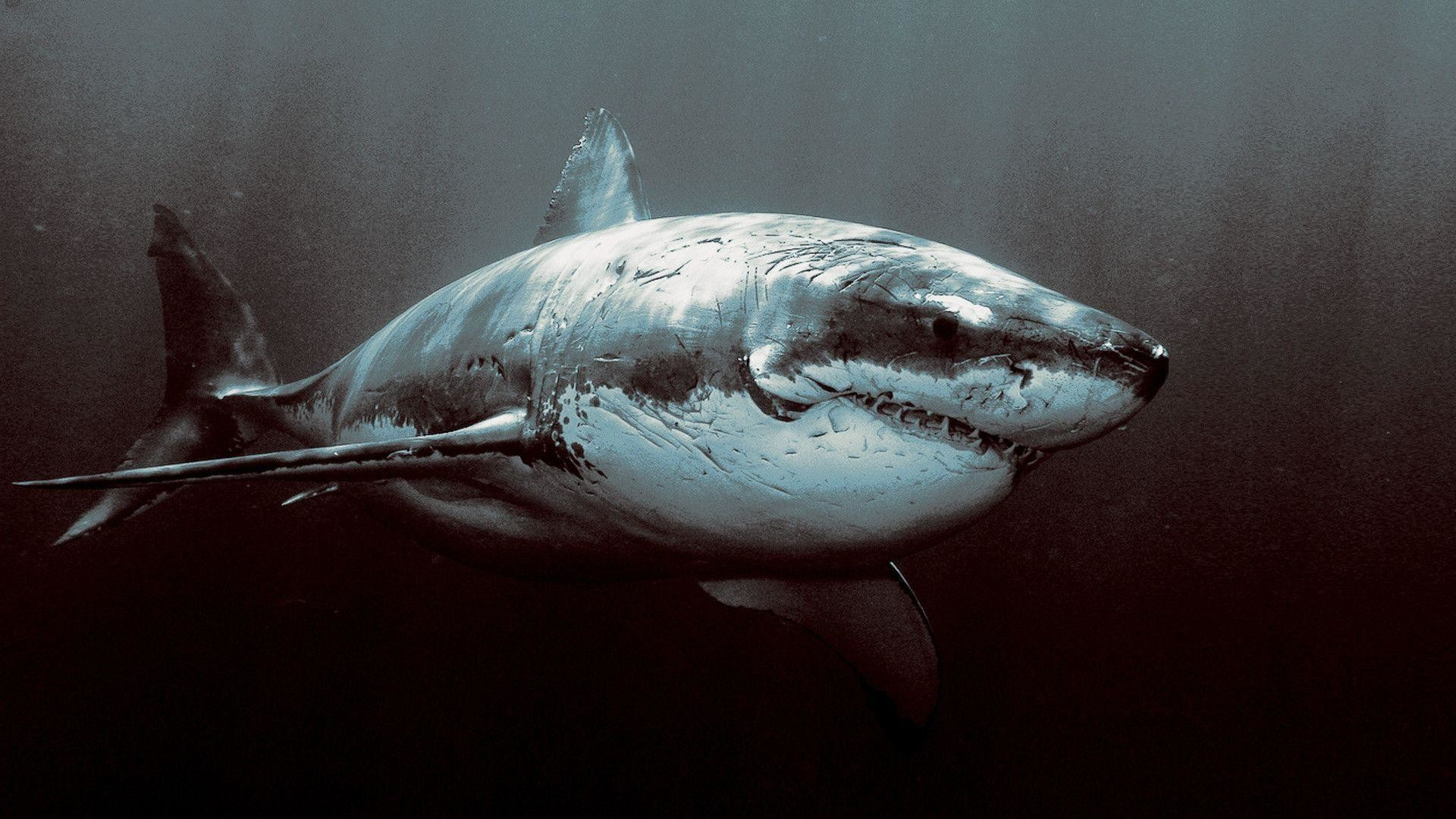 Great White Shark Wallpapers Hd 74 Background Pictures