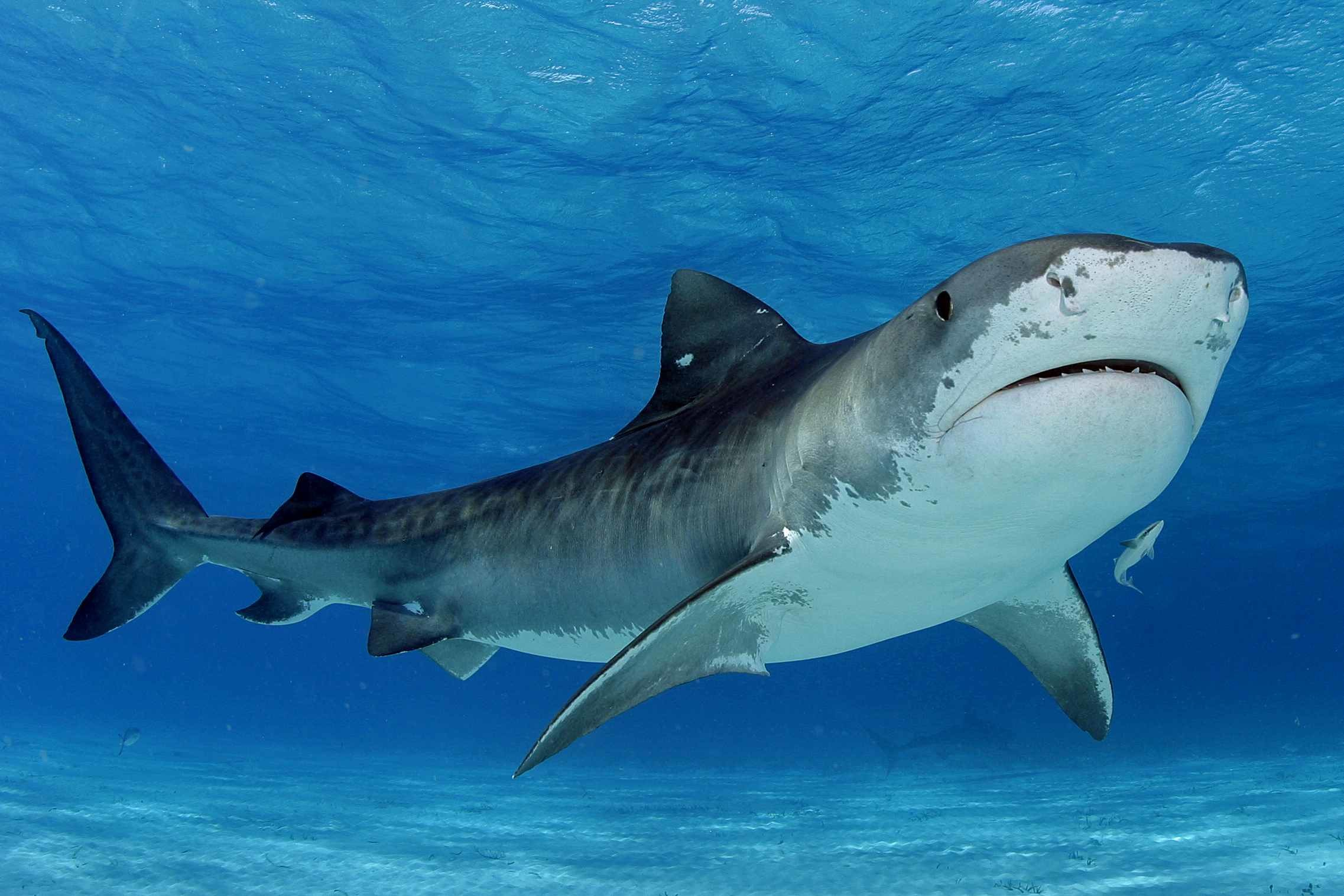 Tiger Shark Wallpapers 60 Background Pictures