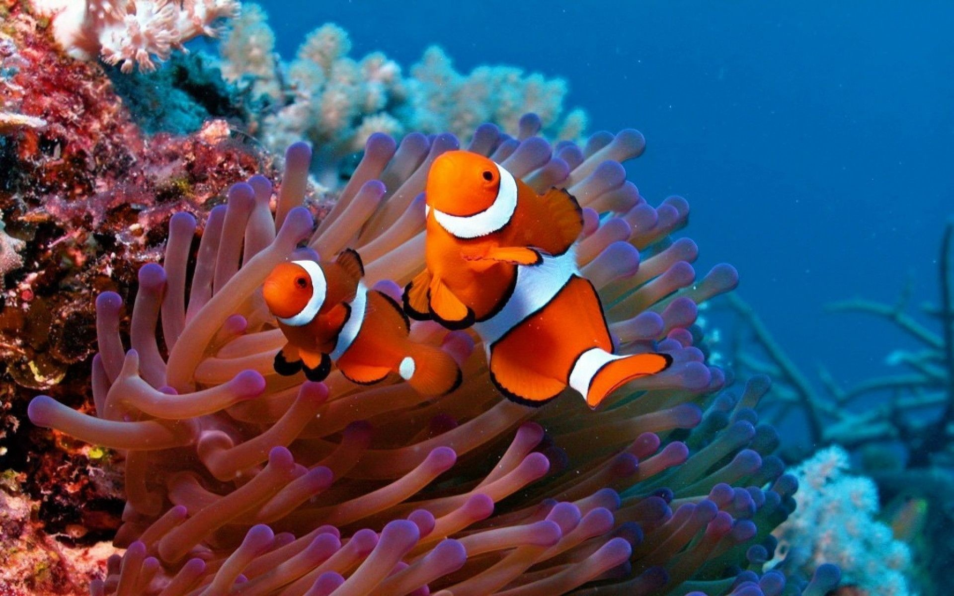 1920x1080 Red Fish 162635 High Quality And Resolution Wallpapers On