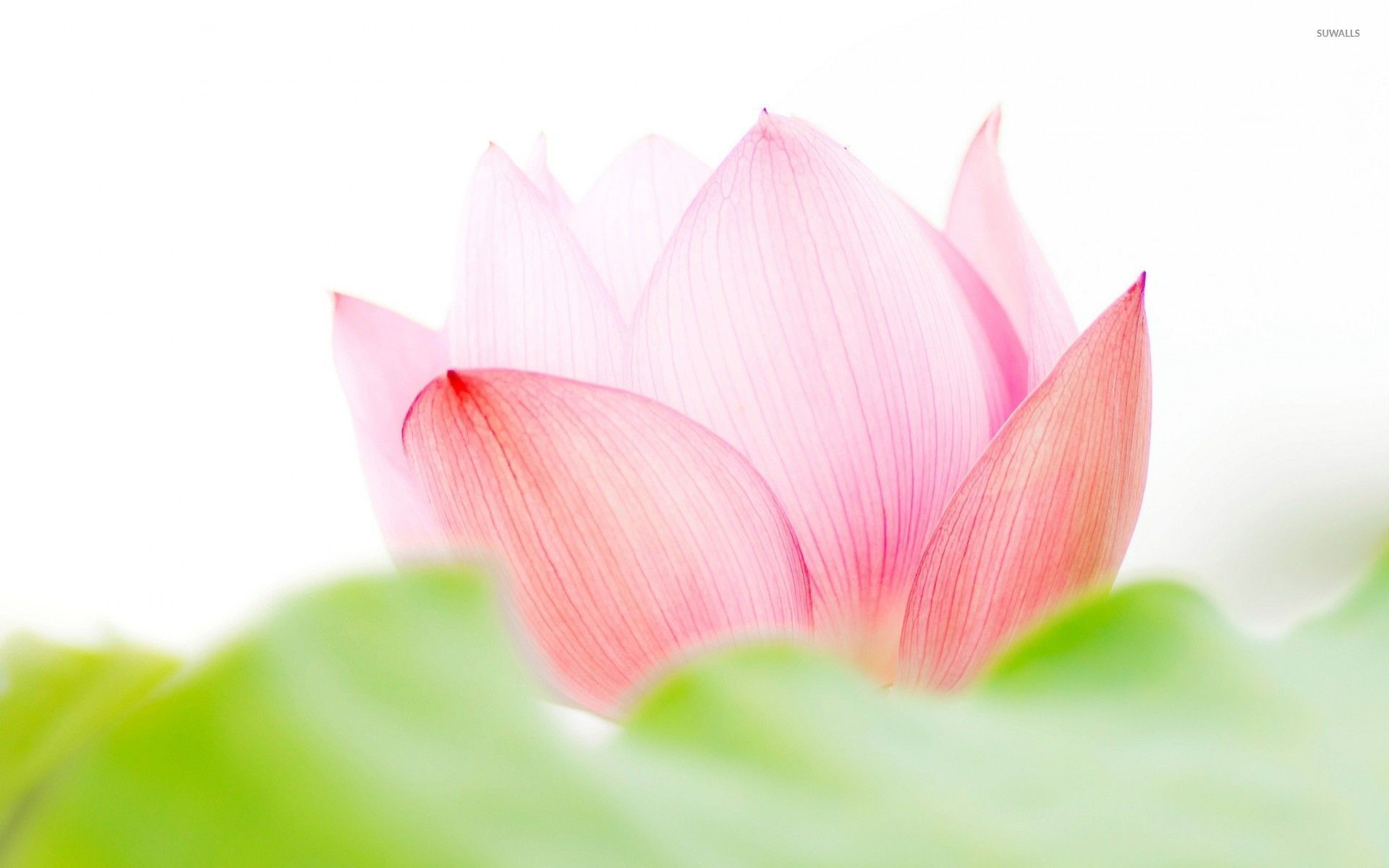 Lotus flower wallpapers 67 background pictures 1920x1200 lotus flower wallpaper izmirmasajfo