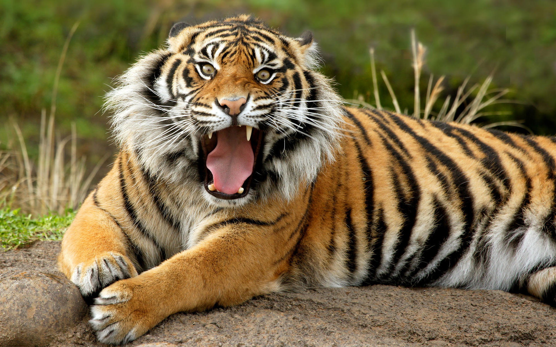 Tiger Wallpapers 75 Background Pictures