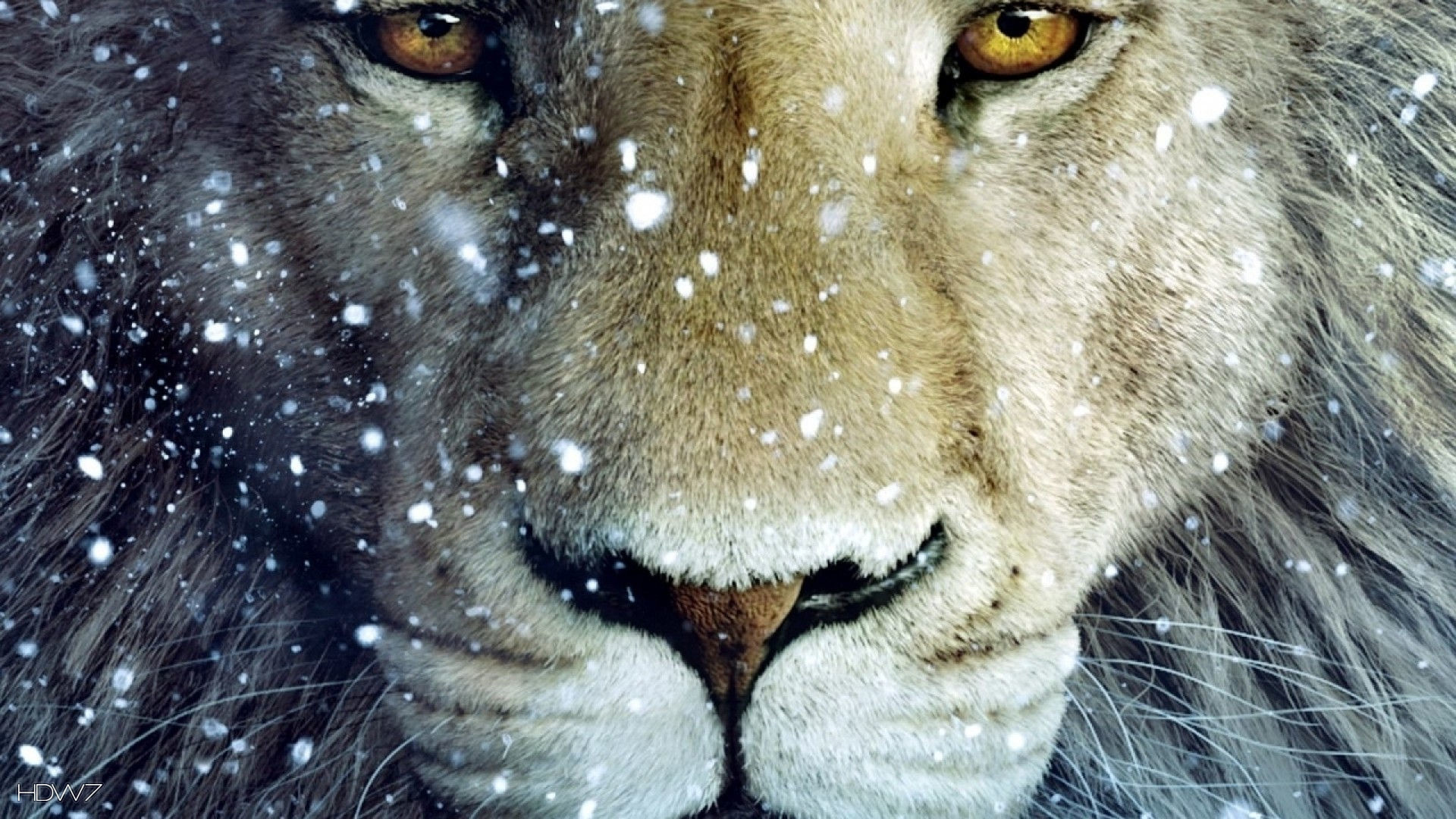 Wallpapers Of White Lion 72 Background Pictures