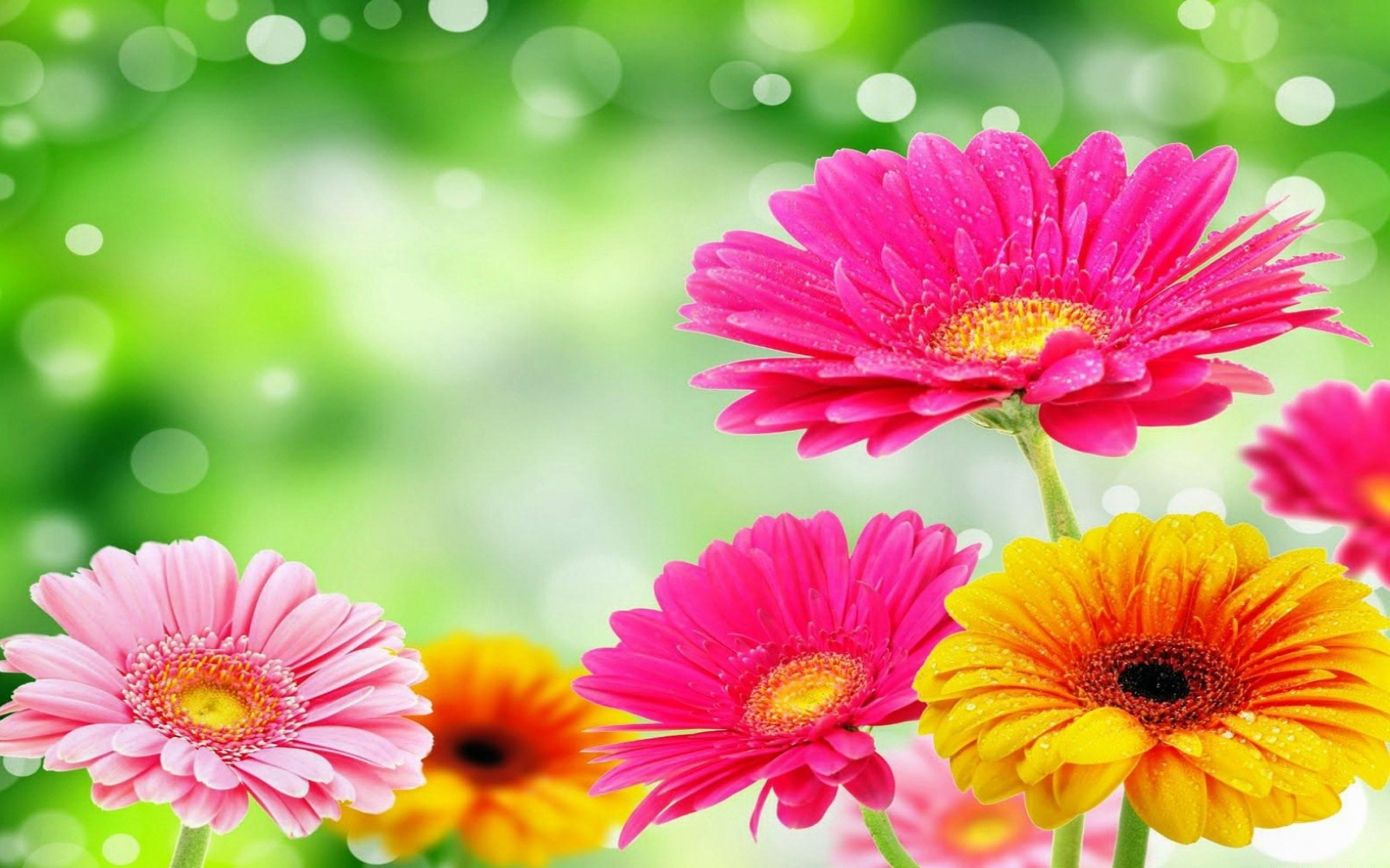 Gerbera daisies wallpapers 51 background pictures 2560x1600 hd wallpaper background image id682499 izmirmasajfo