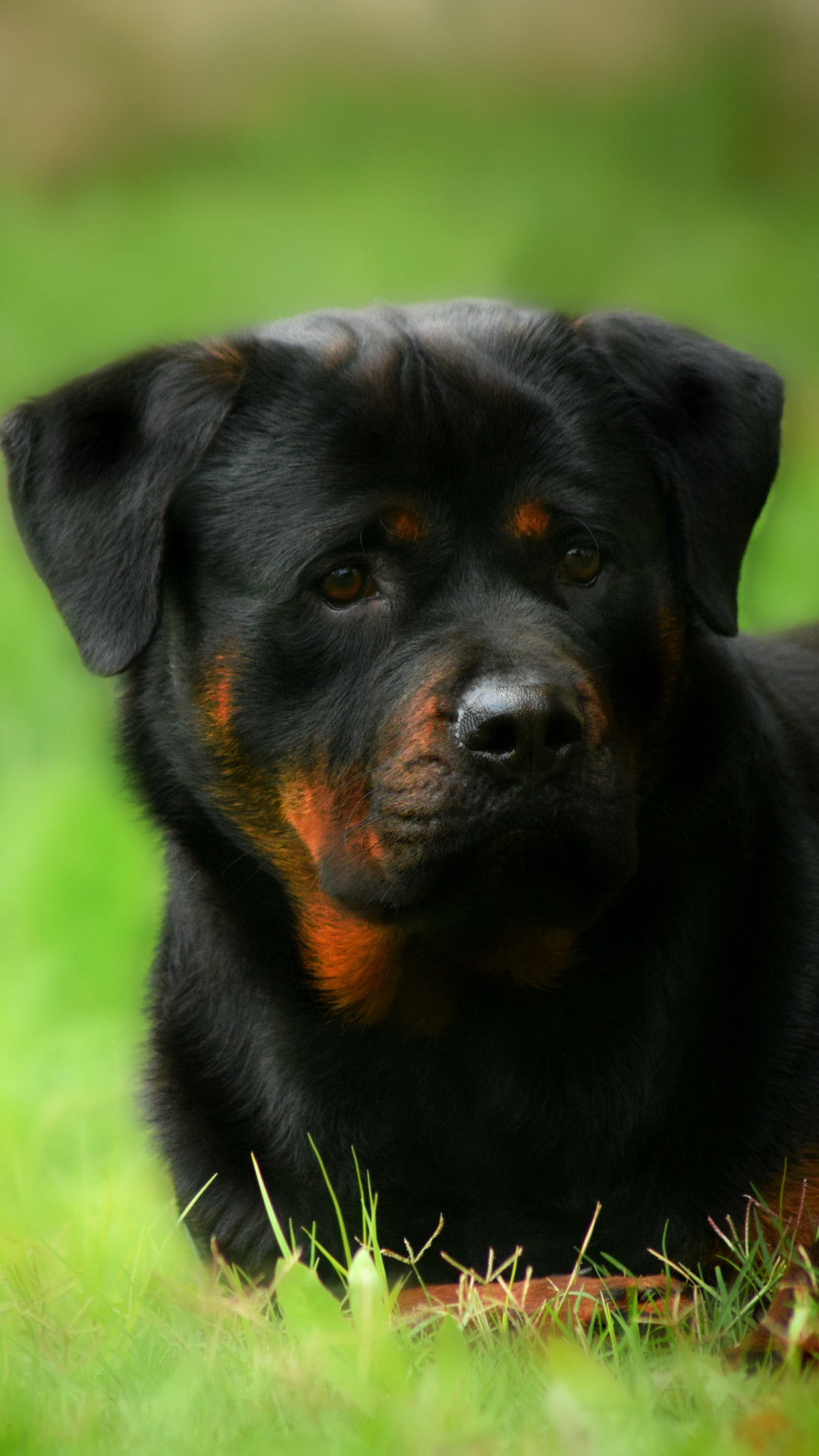 Rotweiler Wallpapers (59+ background pictures)