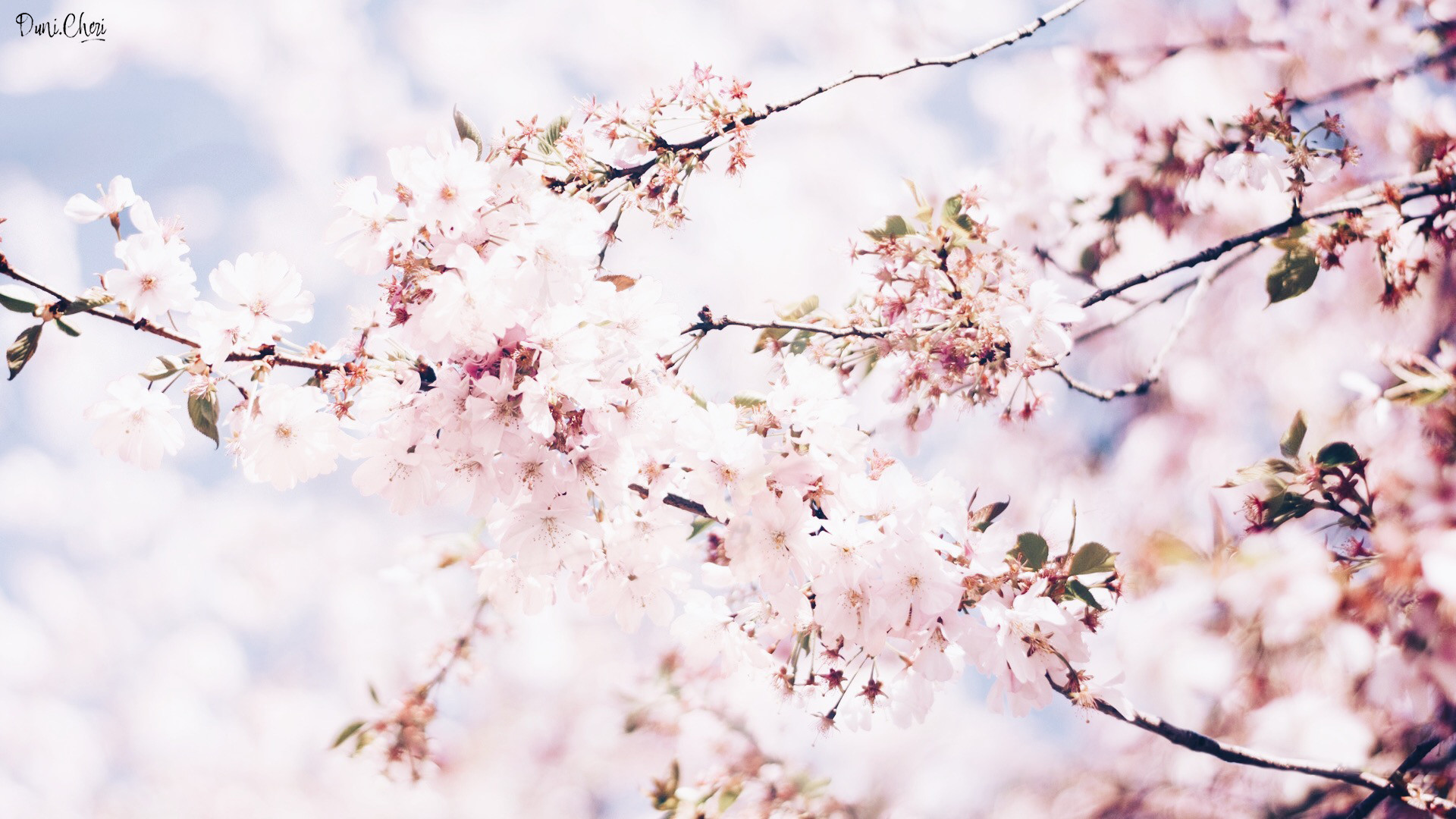 Cherry Blossoms Wallpapers 74 Background Pictures