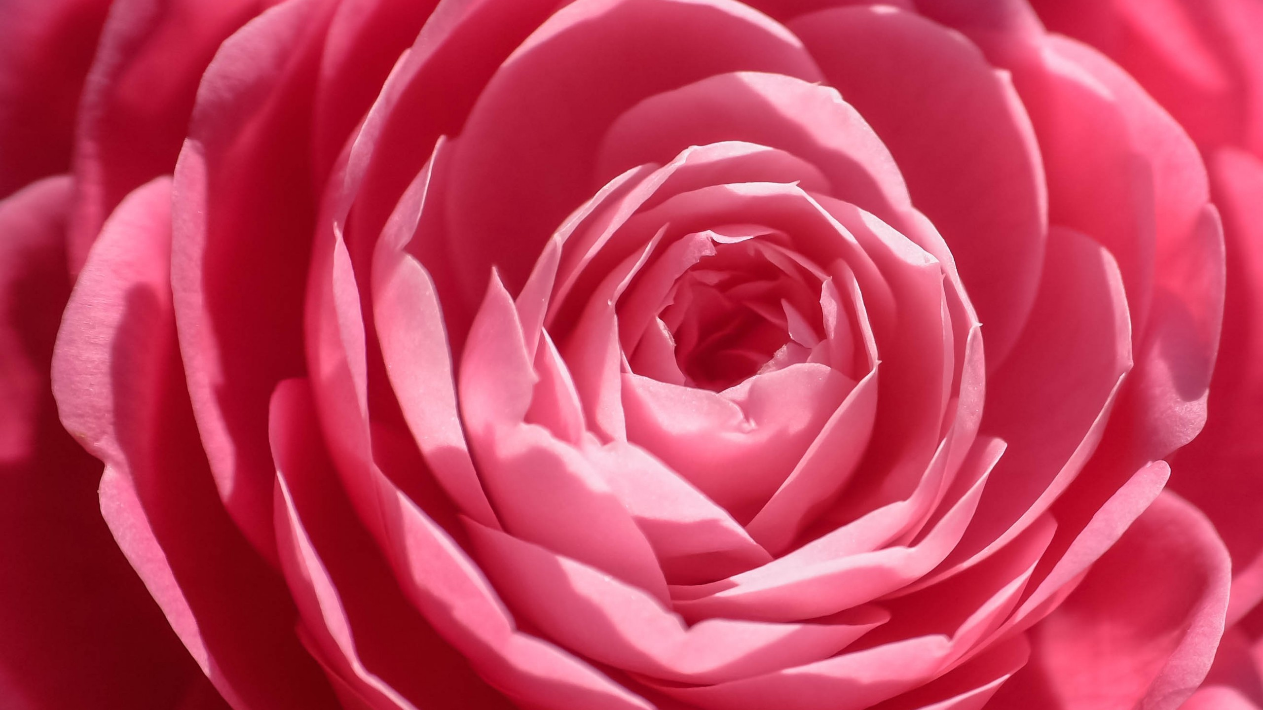 Pink Rose Wallpapers (70+ background pictures)