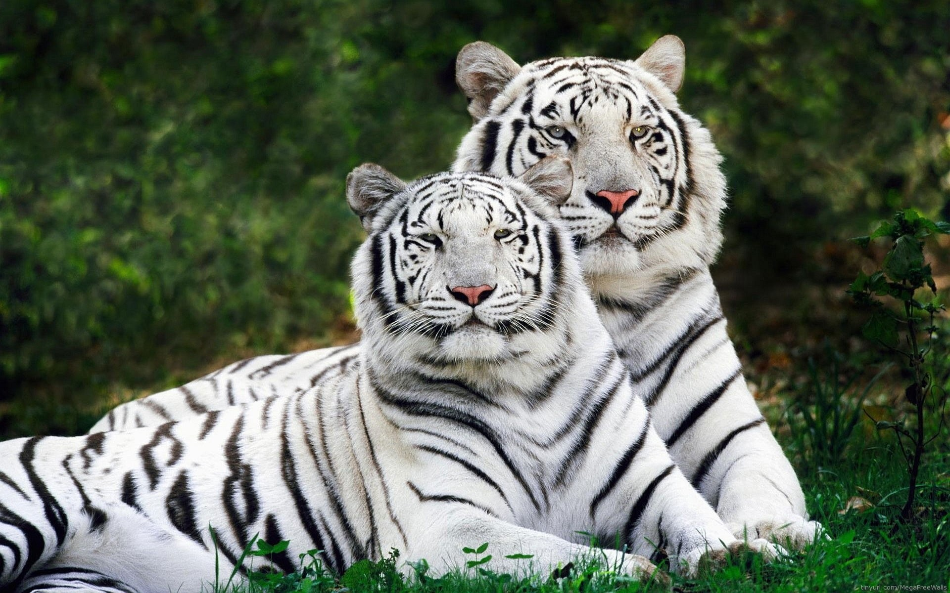 baby white tiger wallpapers (64+ background pictures)