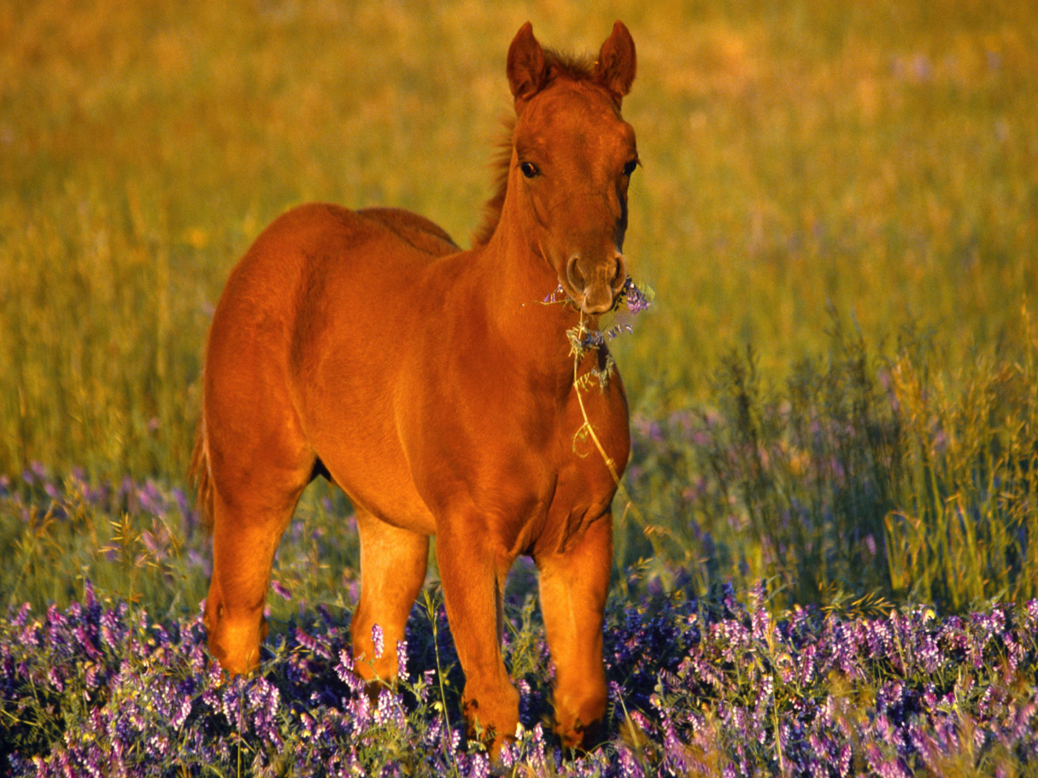 1920x1200 Baby Horse Wallpapers