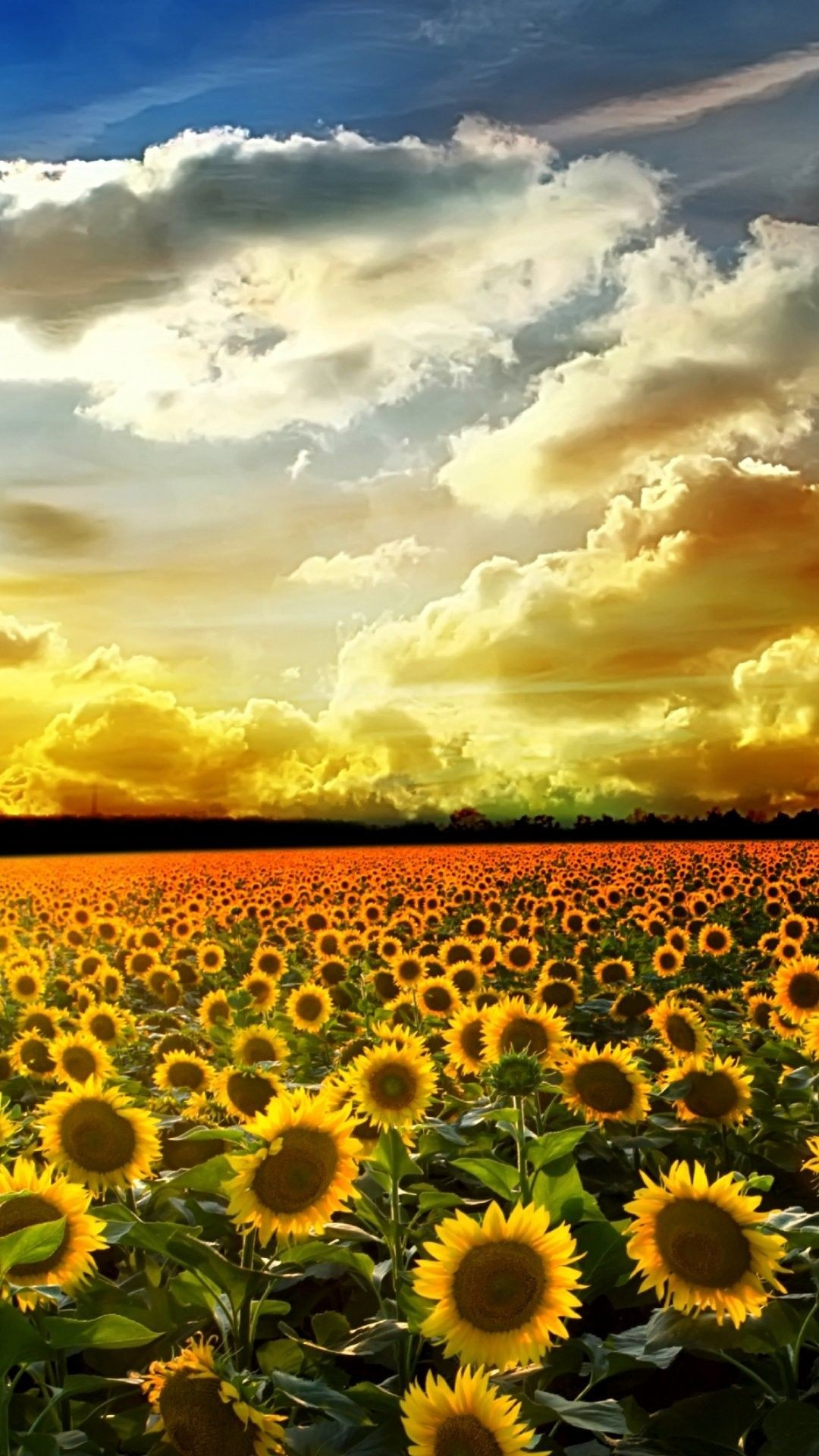Sunflower Wallpapers 74 Background Pictures