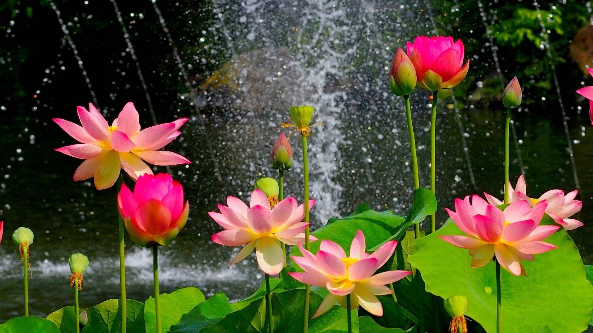 Lotus flower wallpapers 67 background pictures 1710x2137 1710x2137 lotus flower wallpaper and background 4758 izmirmasajfo