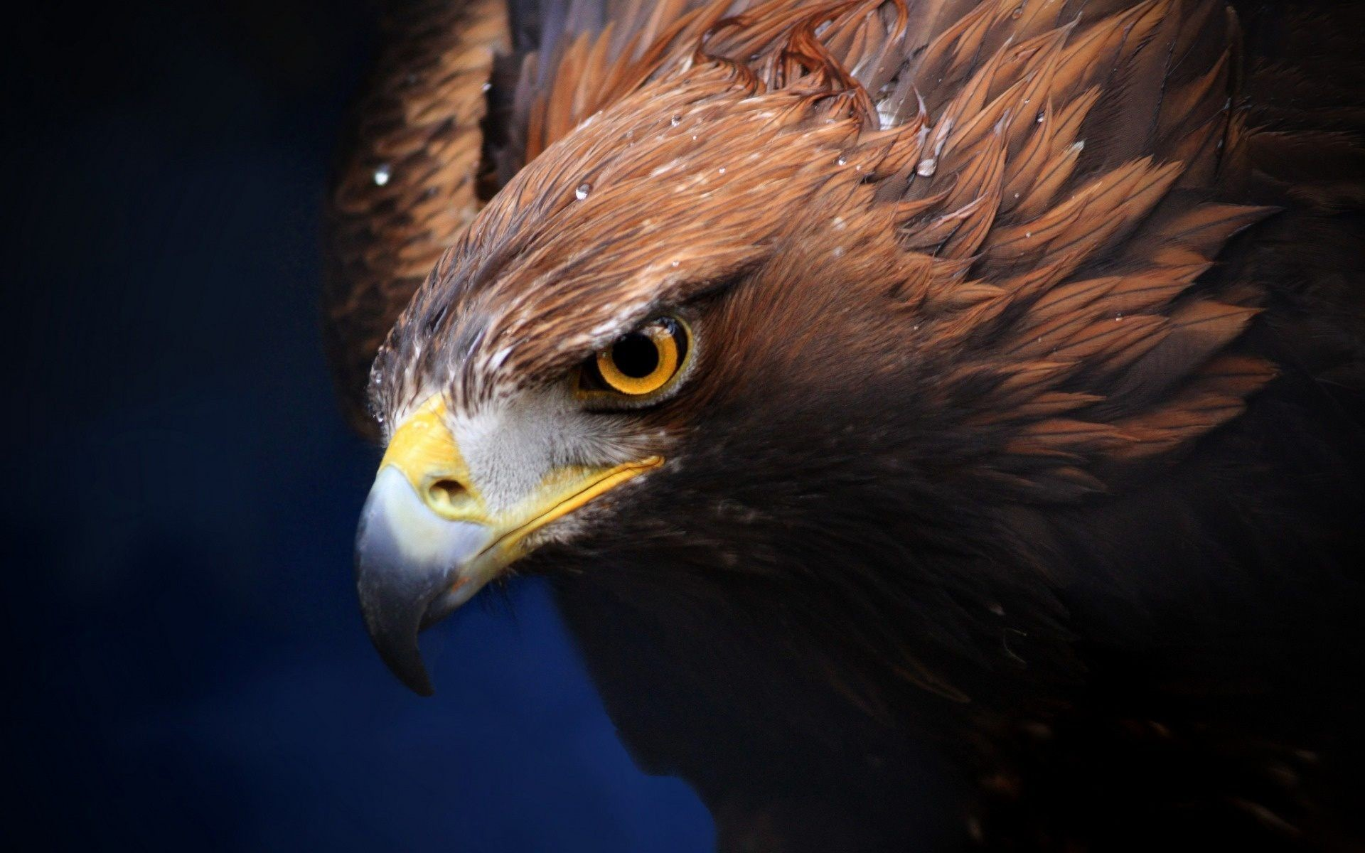 Golden Eagle Wallpapers 69 Background Pictures