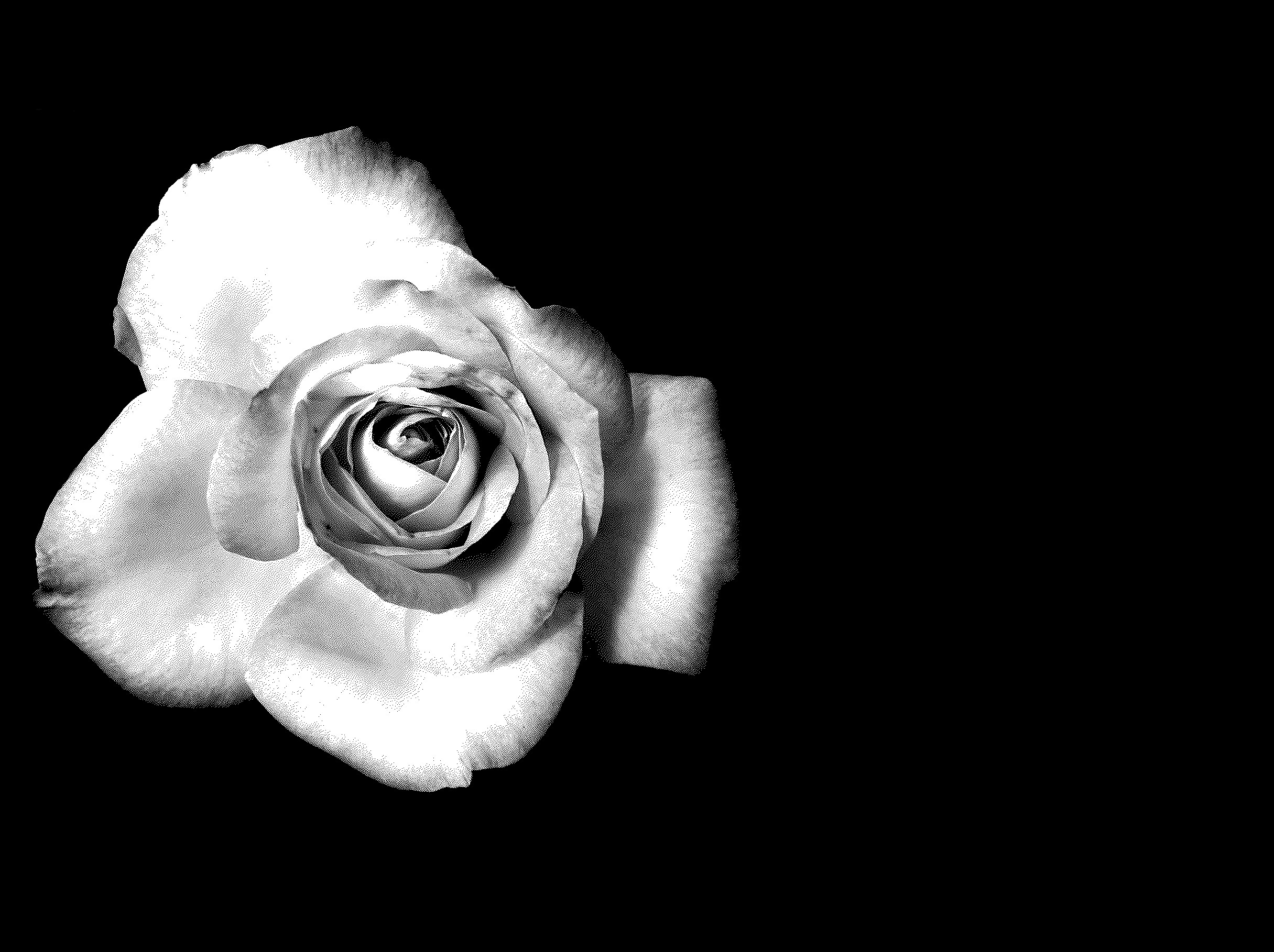 Black And White Rose Wallpapers 62 Background Pictures