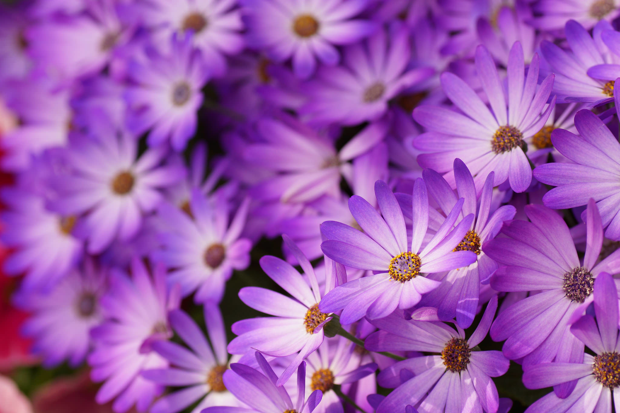 Daisy flower wallpapers 51 background pictures 2560x1600 daisy flower photo izmirmasajfo