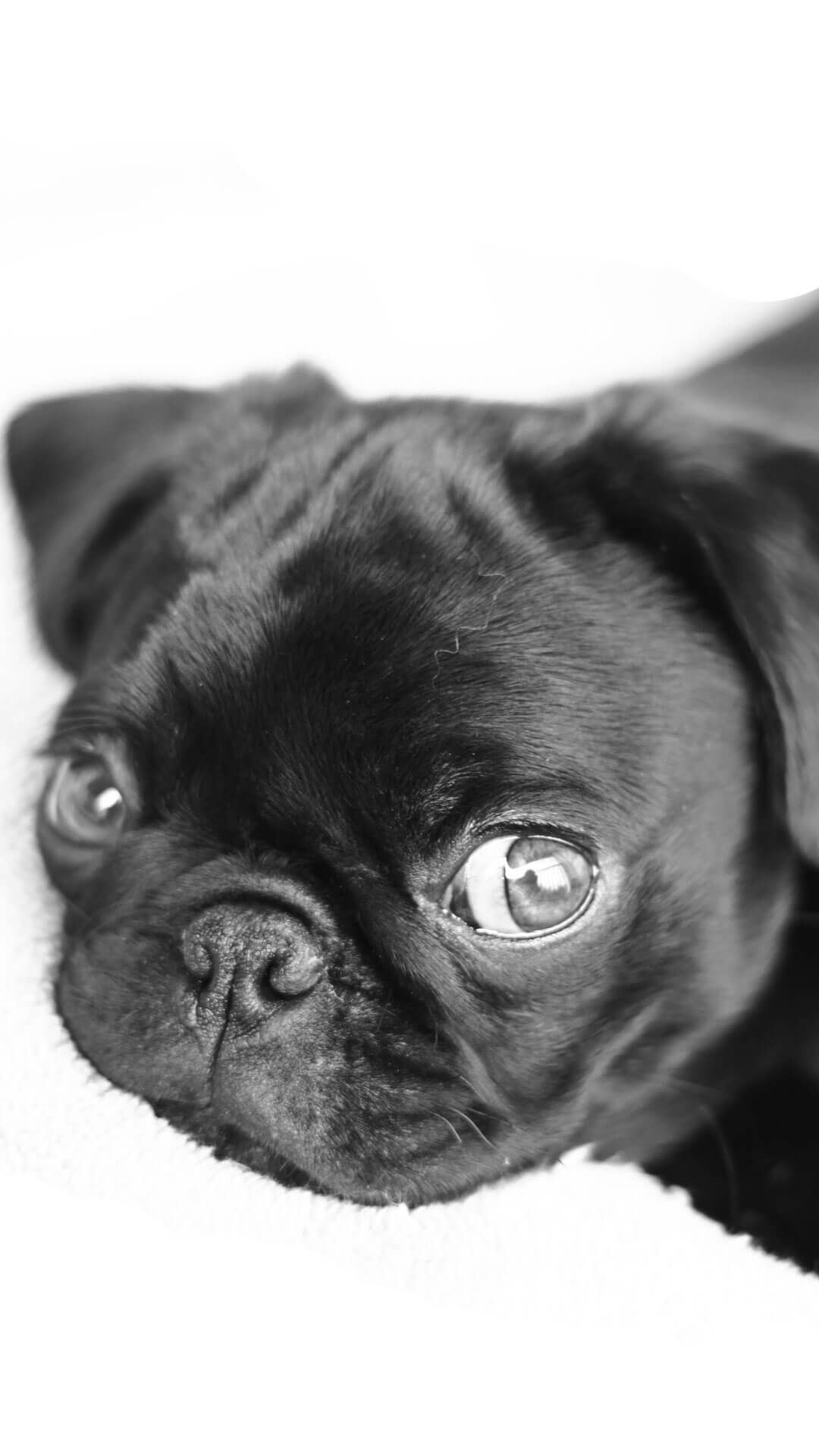 1920x1080 Pug Dog Pet Animal Cute Puppy Wallpaper