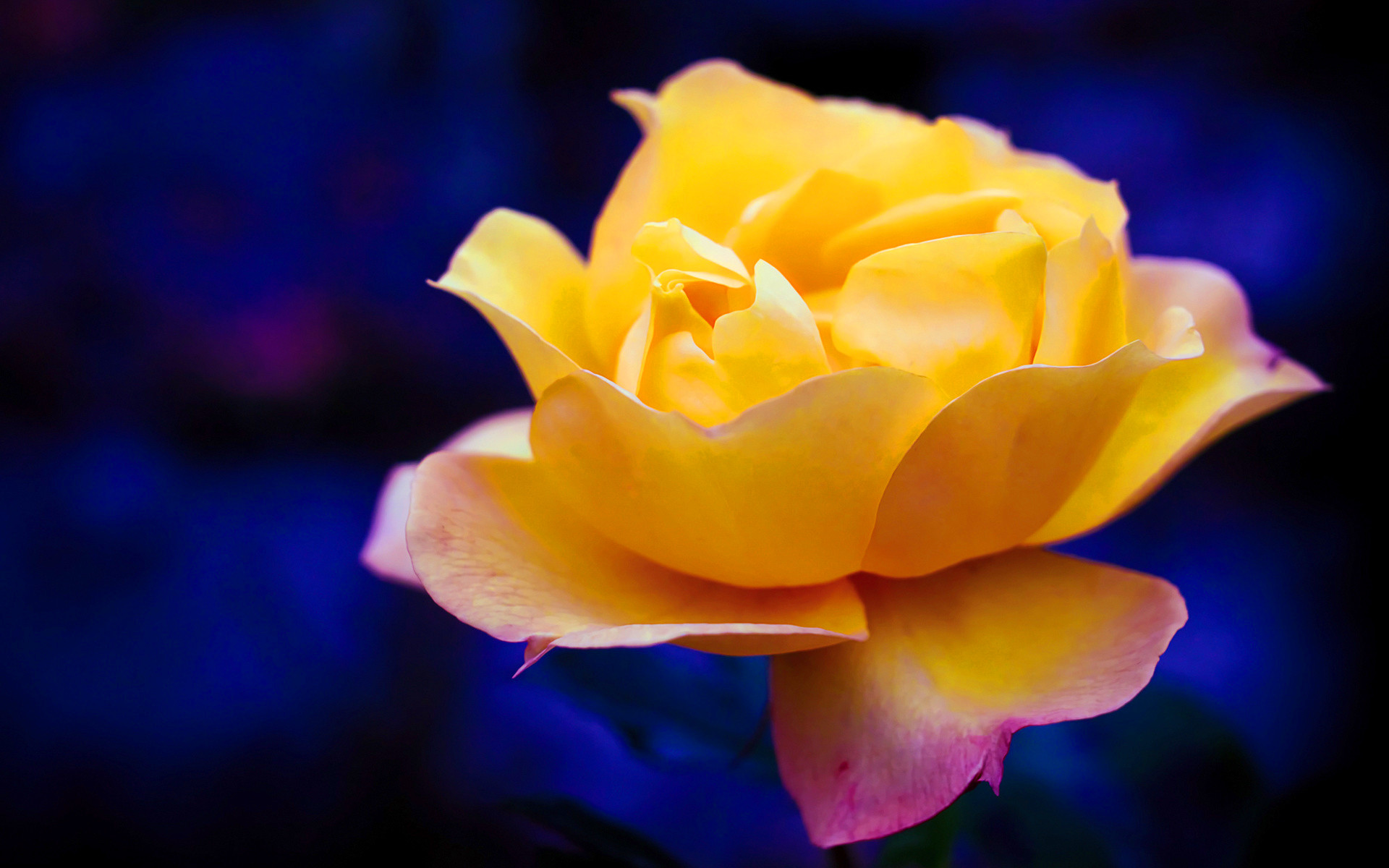 1920x1200 Yellow Rose Wallpapers High Quality Download Free 2048 1360 Inspiration Of Meaning