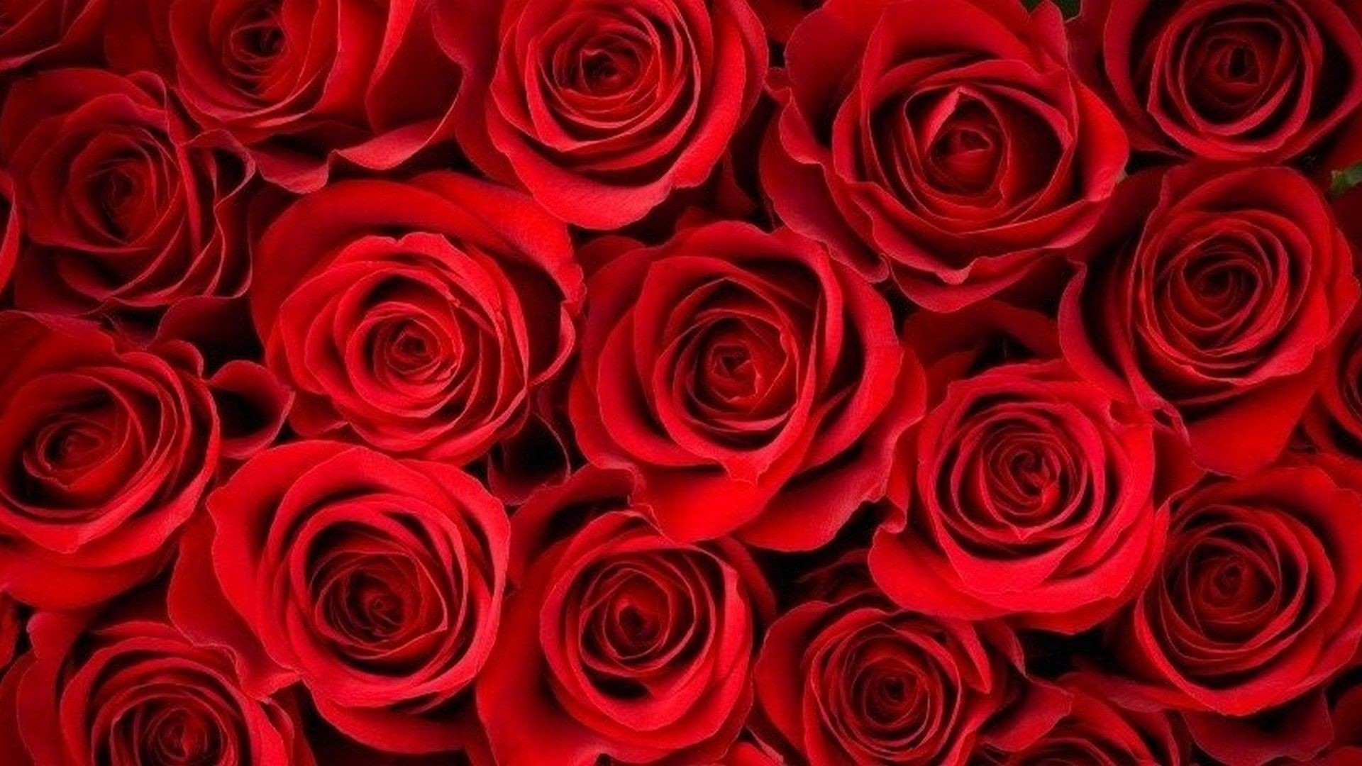 Red Roses Wallpapers (62+ background pictures)