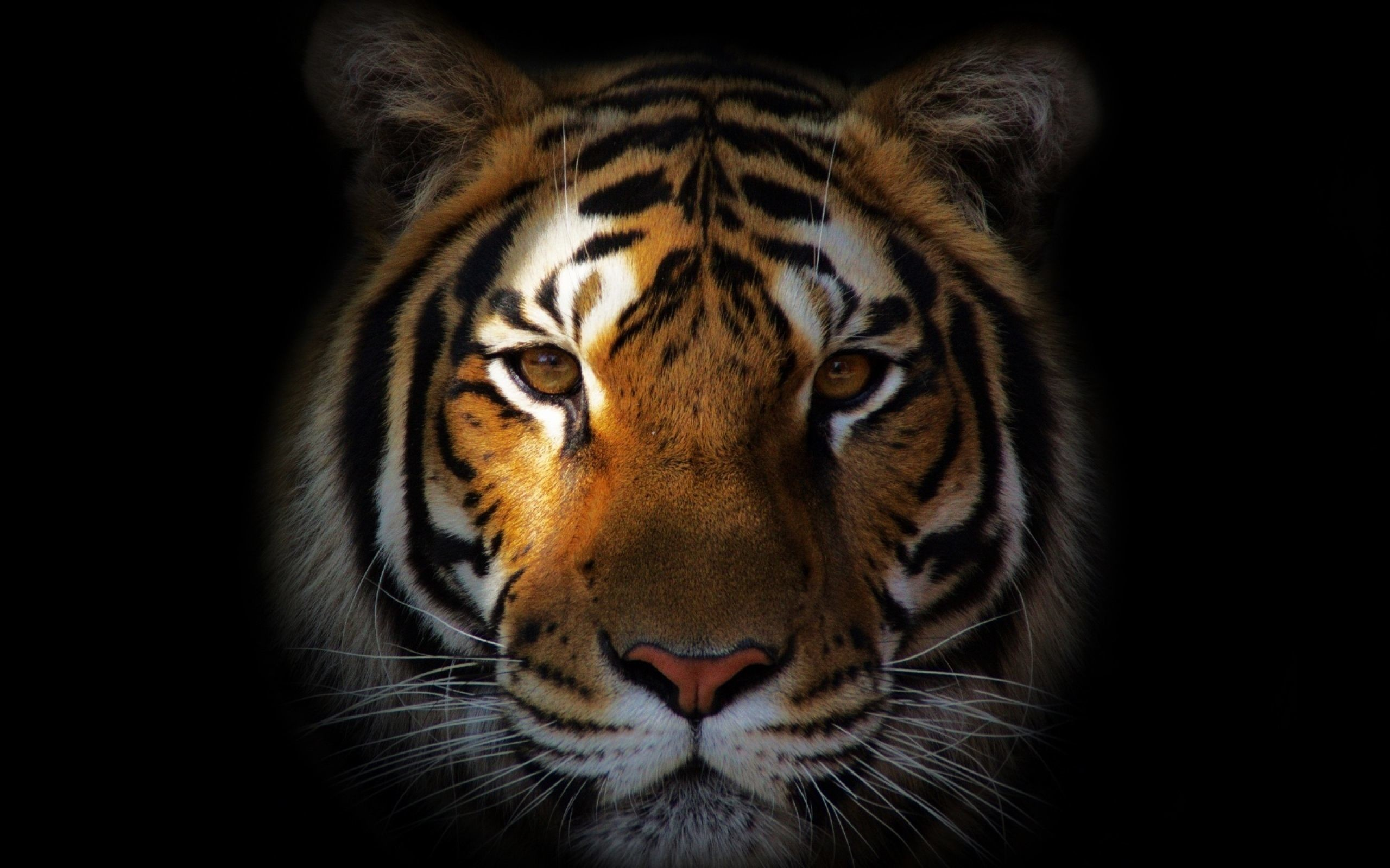 Tiger Hd Wallpapers 80 Background Pictures