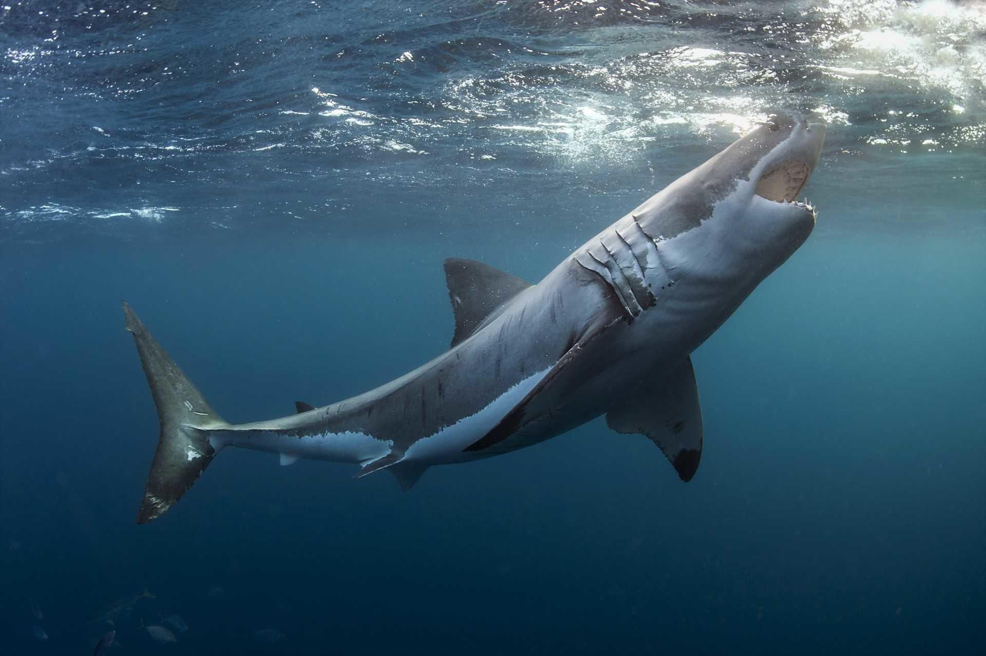 Great White Shark Wallpapers 73 Background Pictures