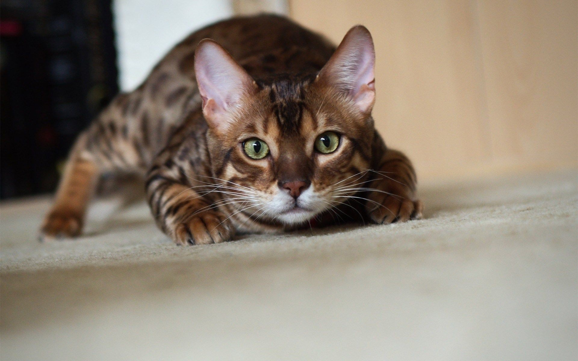 1920x1200 Bengal Cat | HD Animals and Birds Wallpaper Free Download .
