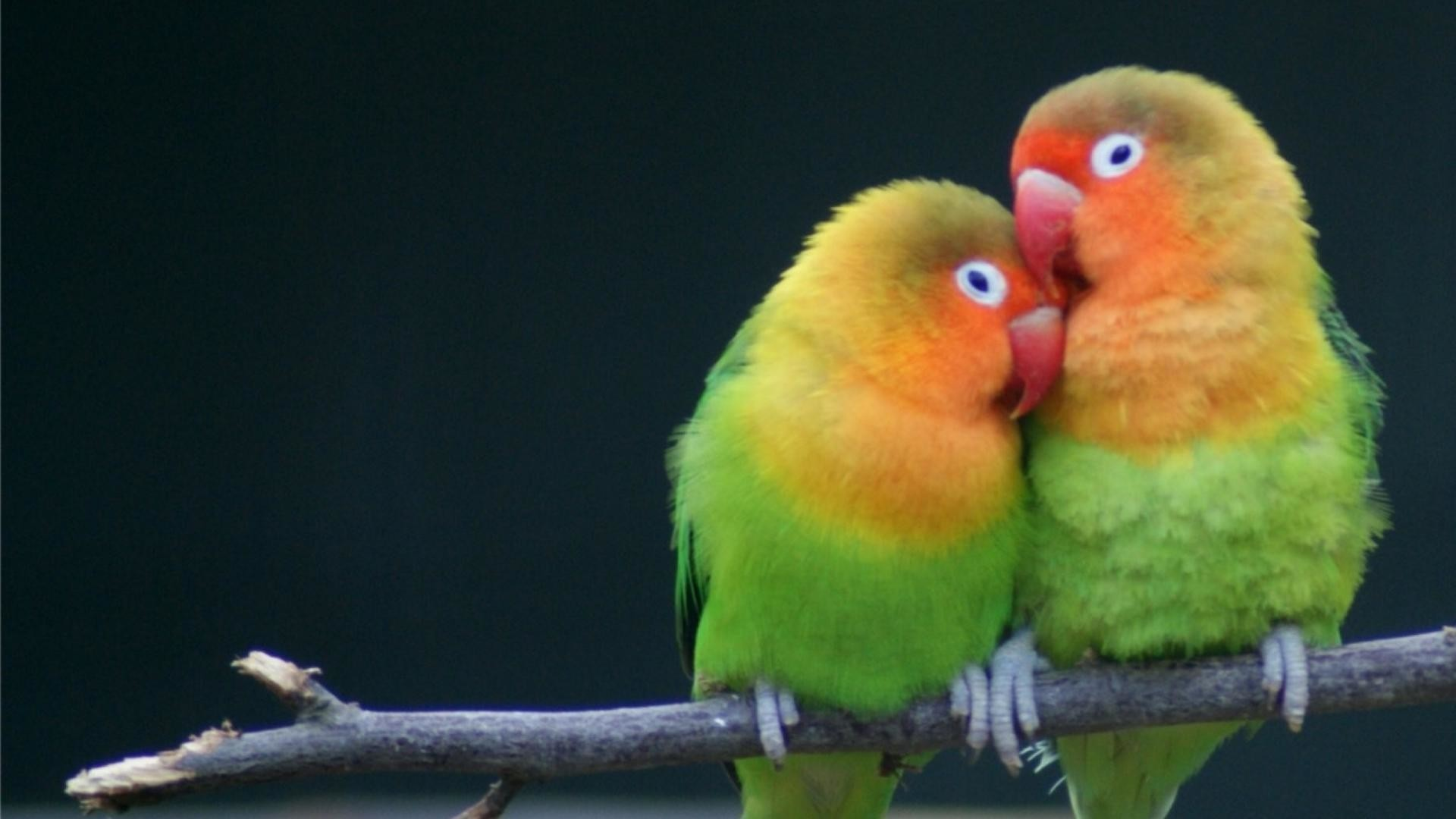 Lovebirds Wallpapers 52 Background Pictures