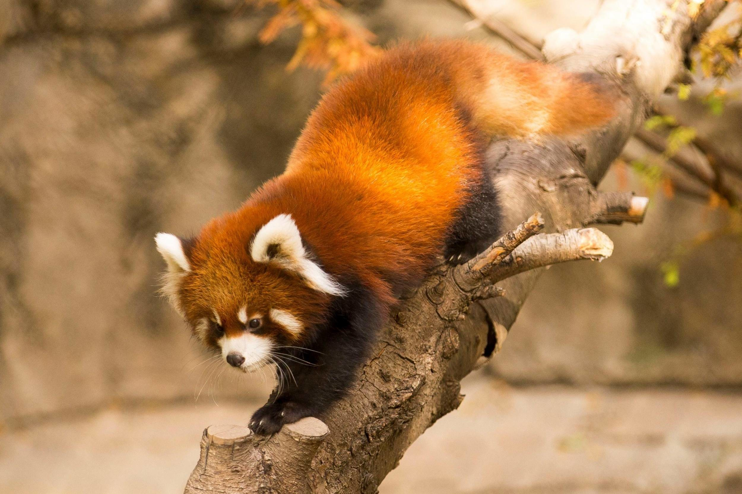 Red Panda Wallpapers 79 Background Pictures