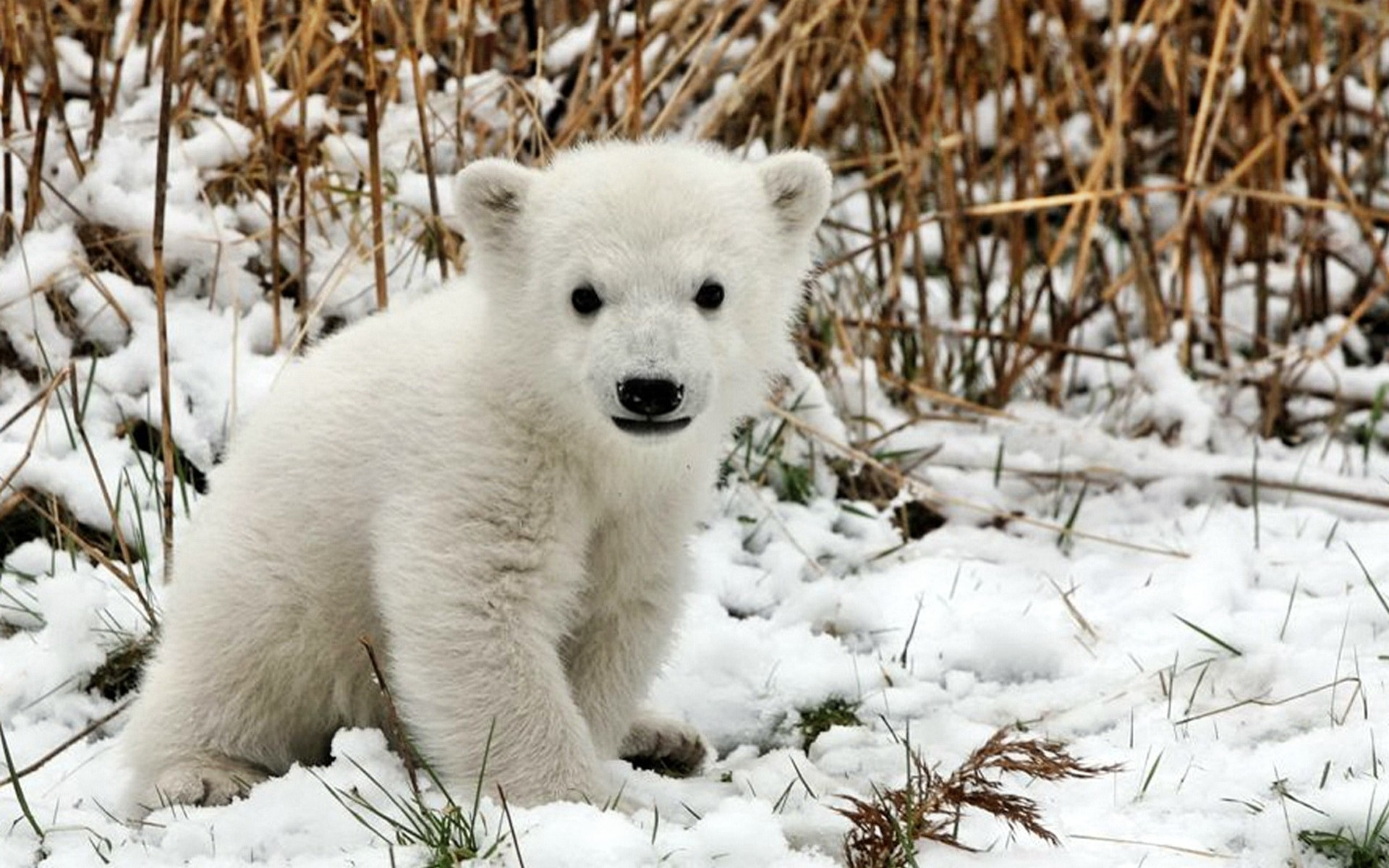 baby polar bear wallpapers (51+ background pictures)