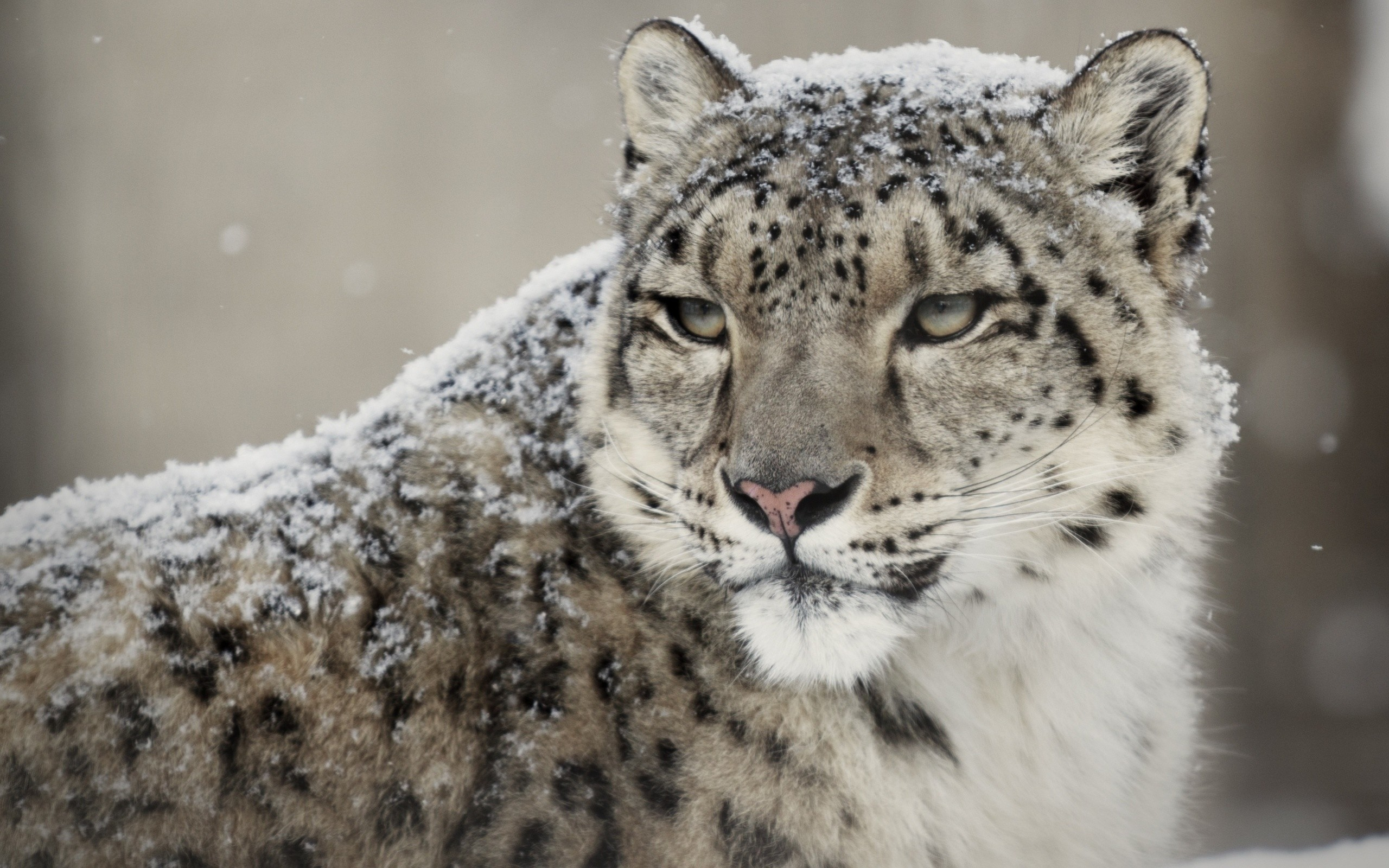 Snow Leopard Wallpapers 81 Background Pictures