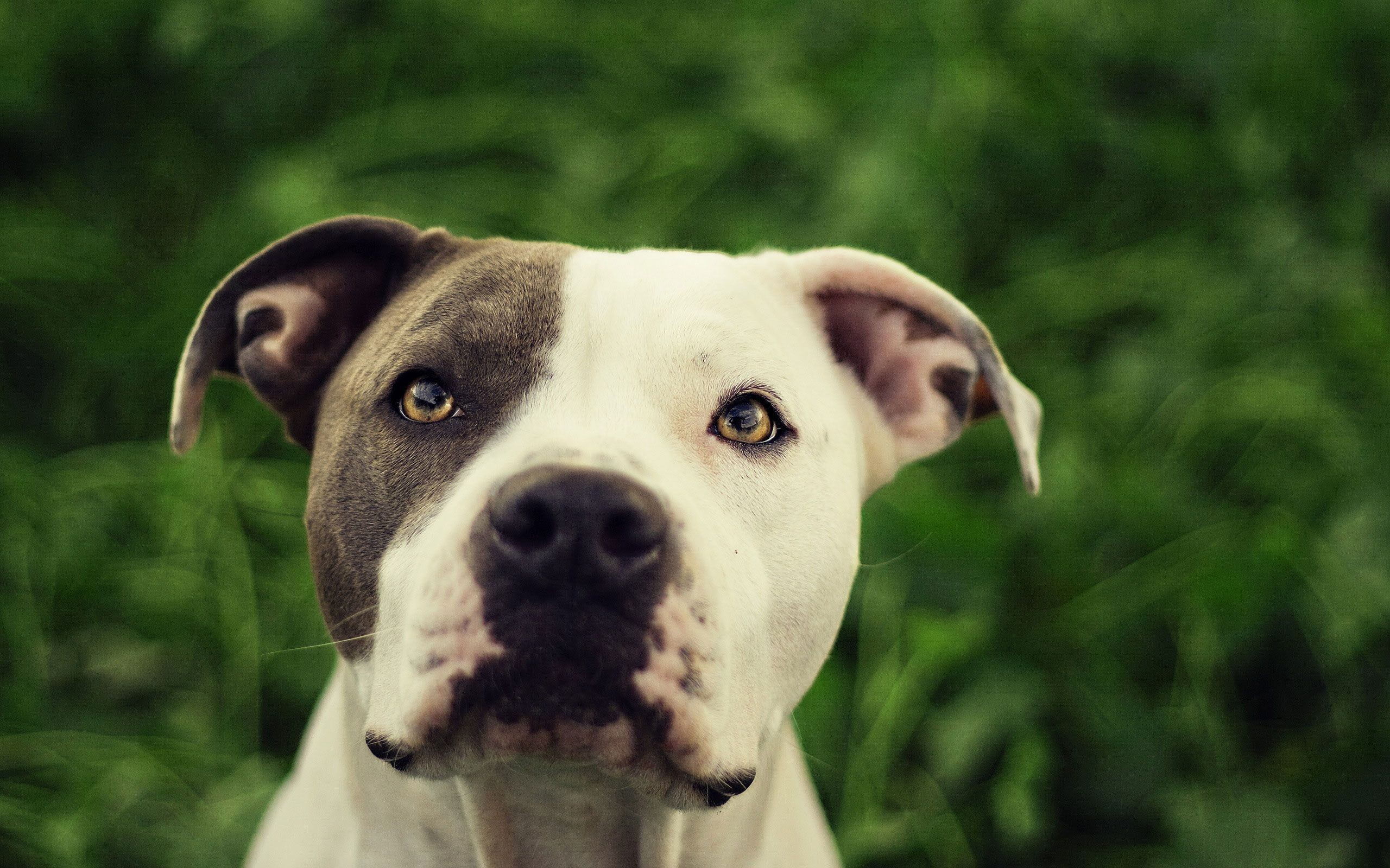 1944x2592 Free White And Brown Red Nose Pitbull