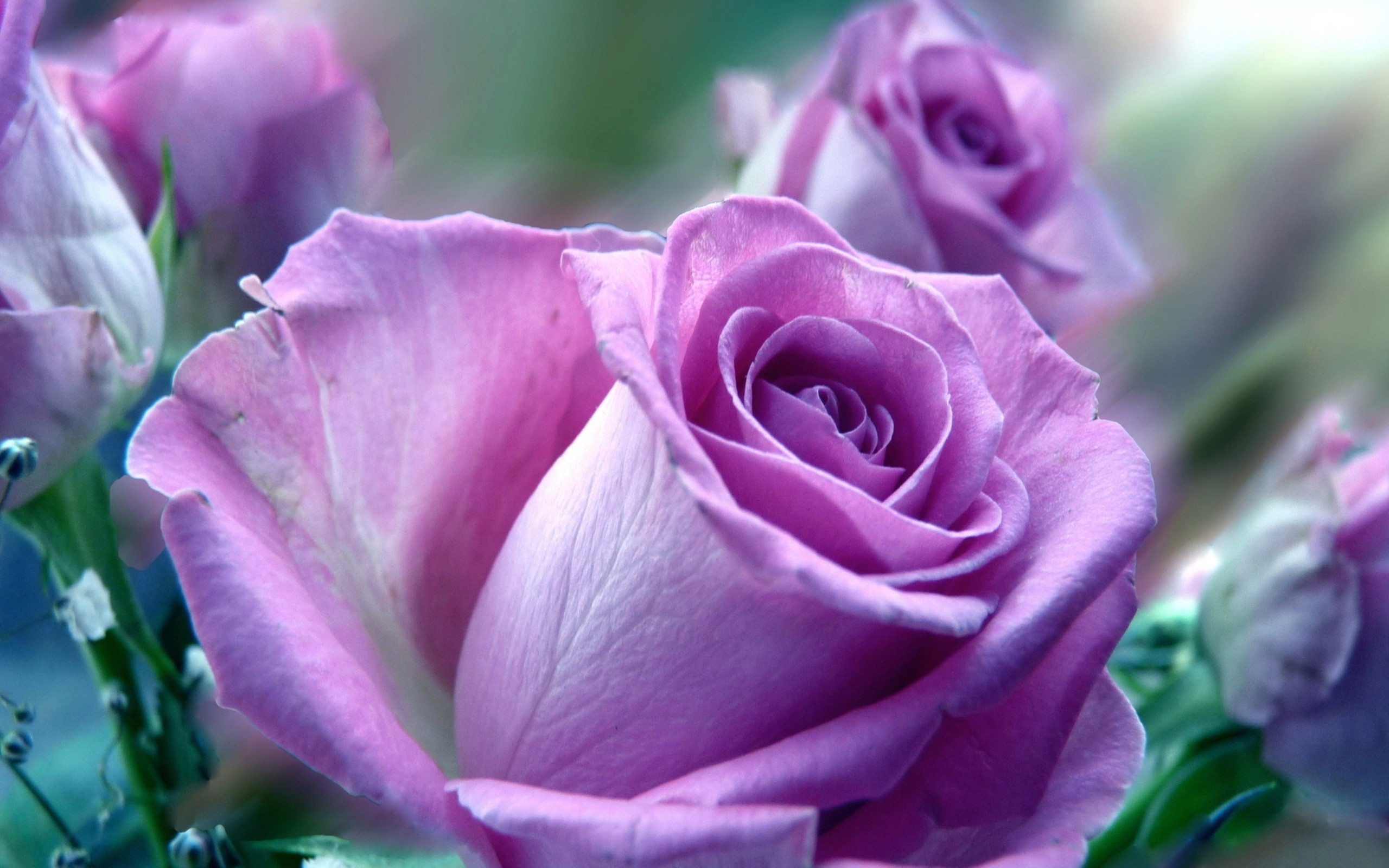2560x1600 Original Resolution Download 1080x1920 Violet Rose Wallpapers
