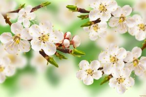 beautiful apple blossom wallpapers 2560x1600
