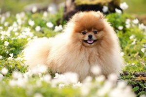pomeranian wallpapers 1920x1200 windows xp