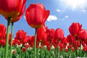 free download red tulips wallpapers 2560x1600 for ios