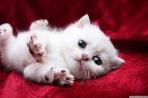 cool kitty cat wallpapers 1920x1080 retina